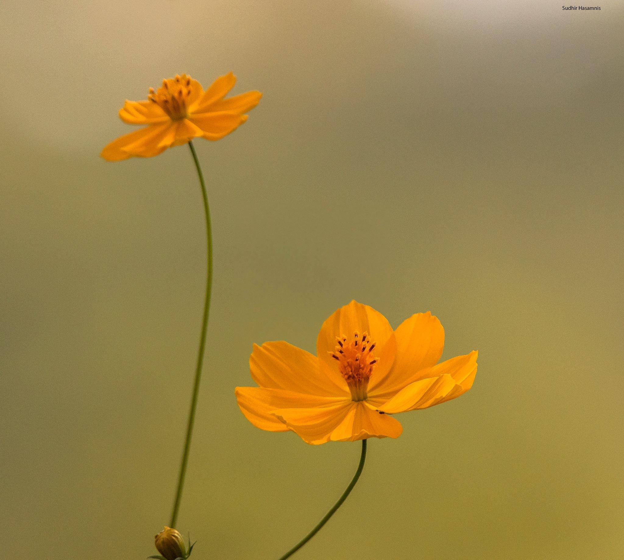 Cosmos flowers by DrSudhir Hasamnis