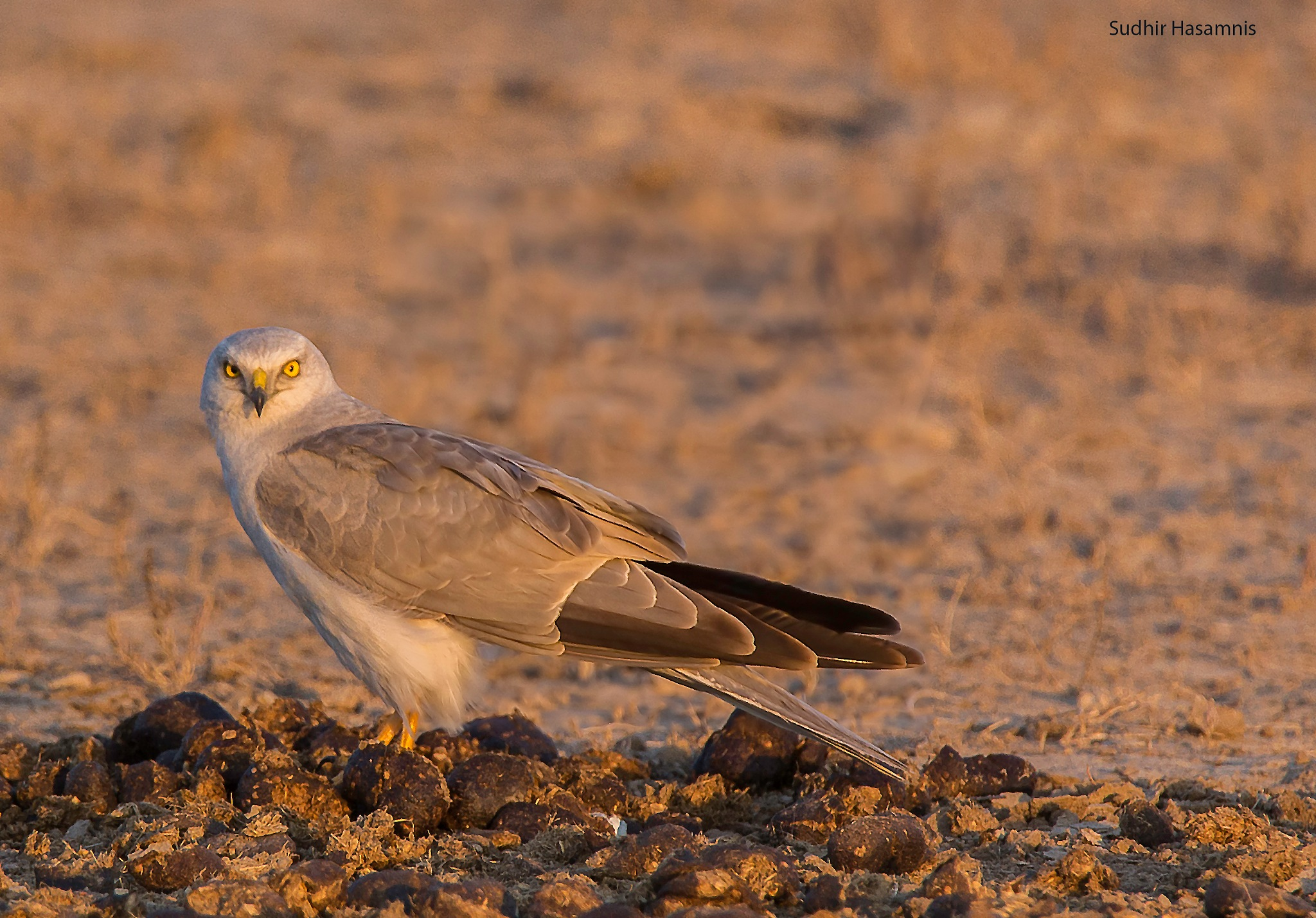 Pallid Harrier in fading lights by DrSudhir Hasamnis