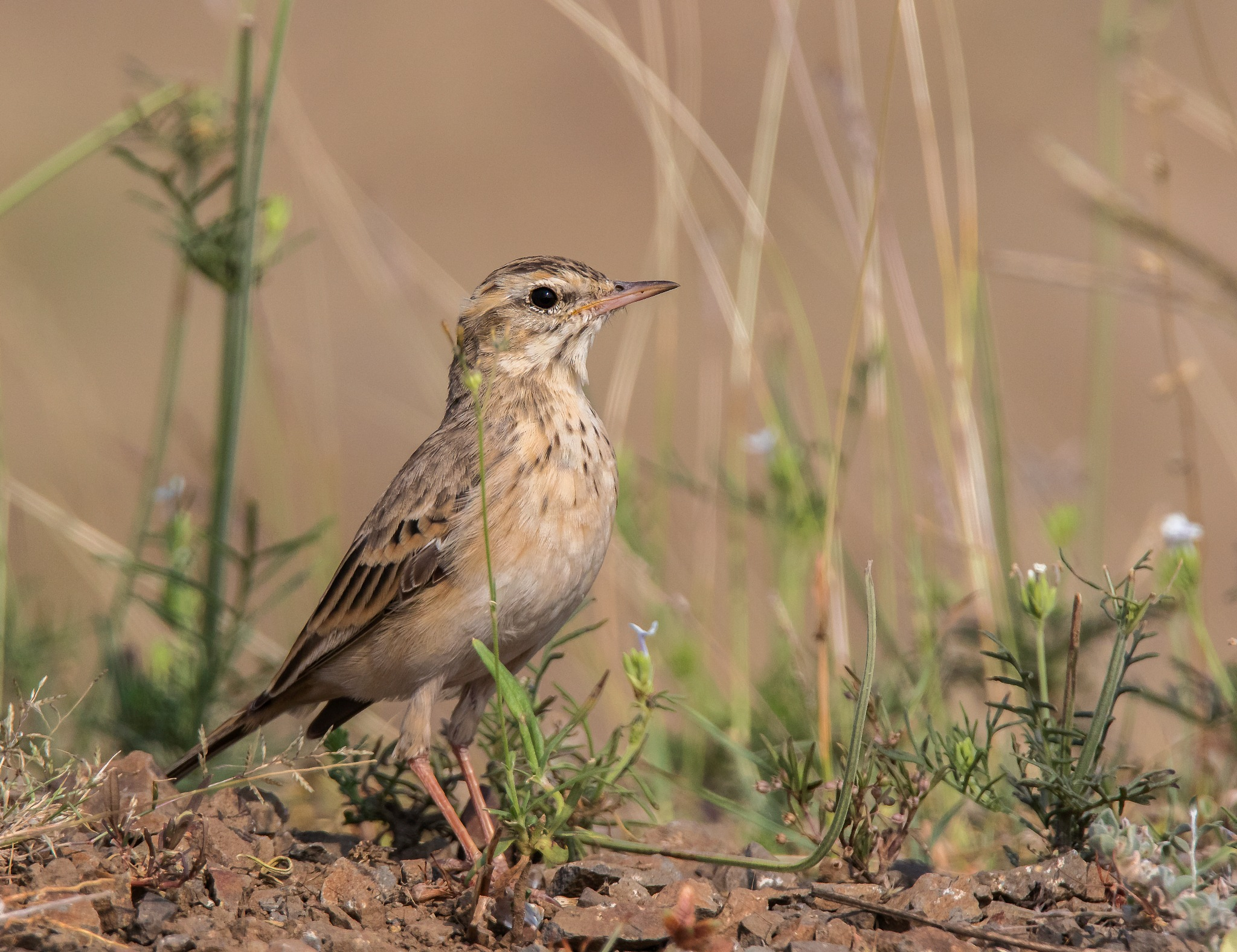 Pipit by DrSudhir Hasamnis