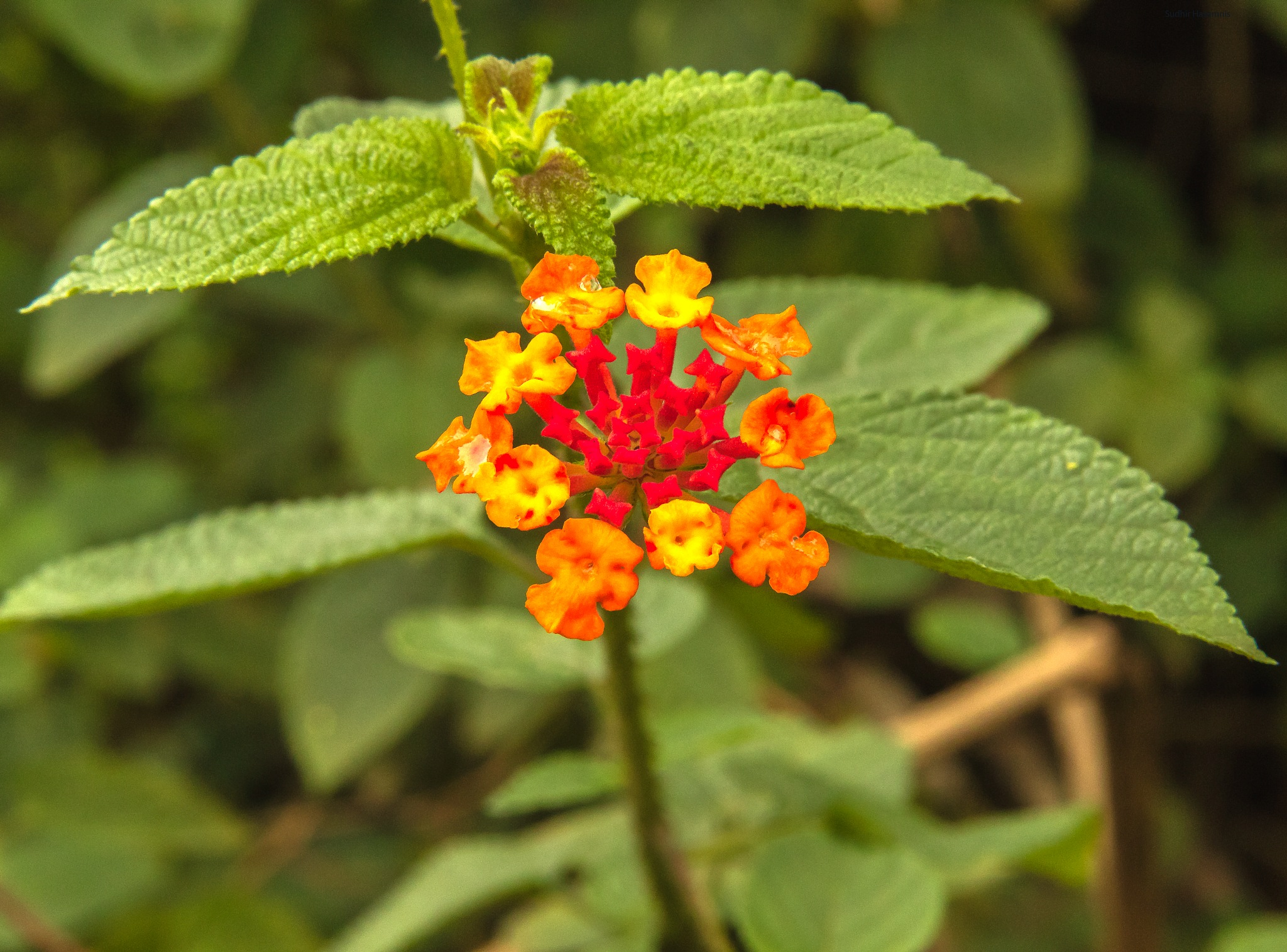 Red Yellow by DrSudhir Hasamnis