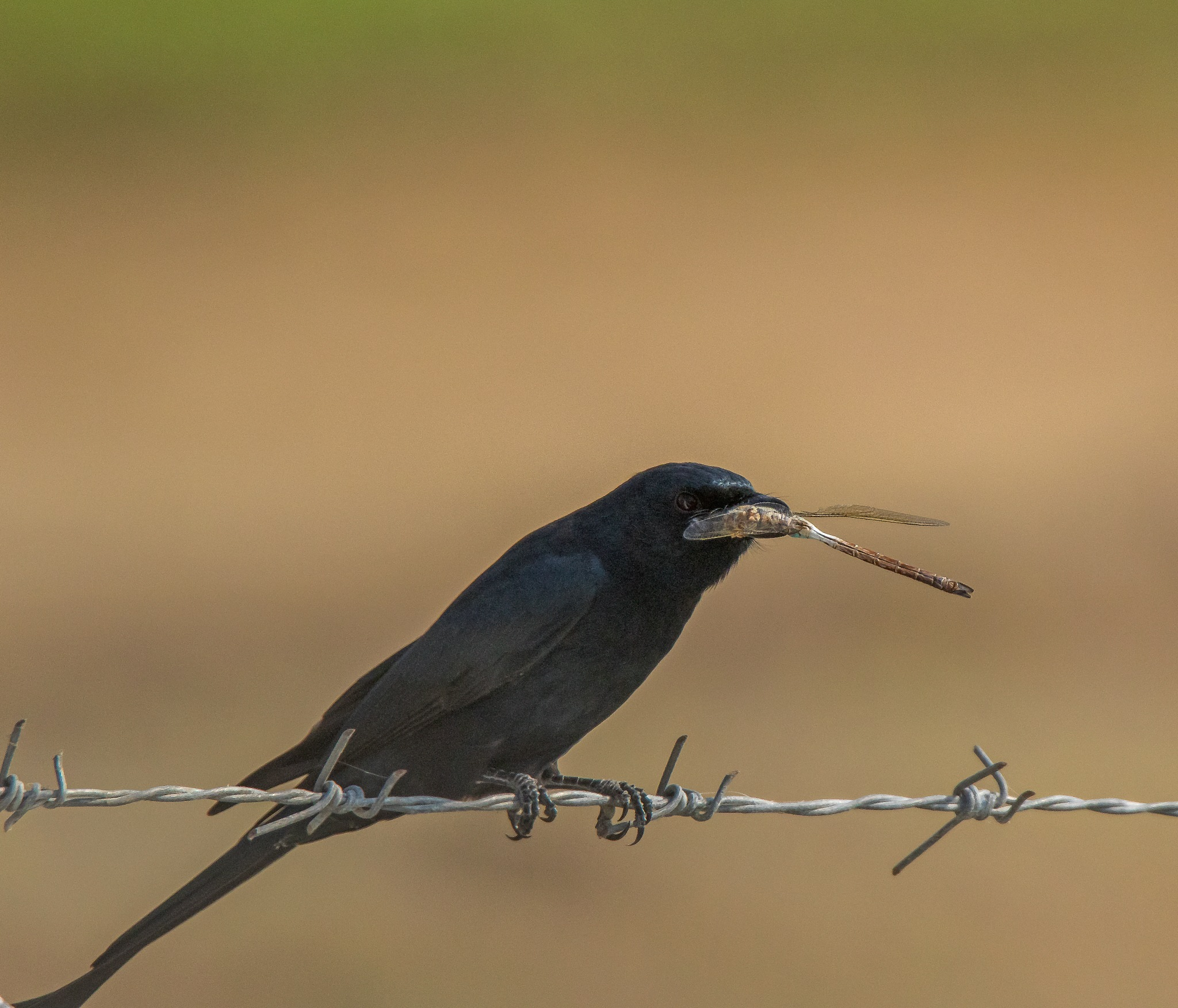 Drongo with kill by DrSudhir Hasamnis