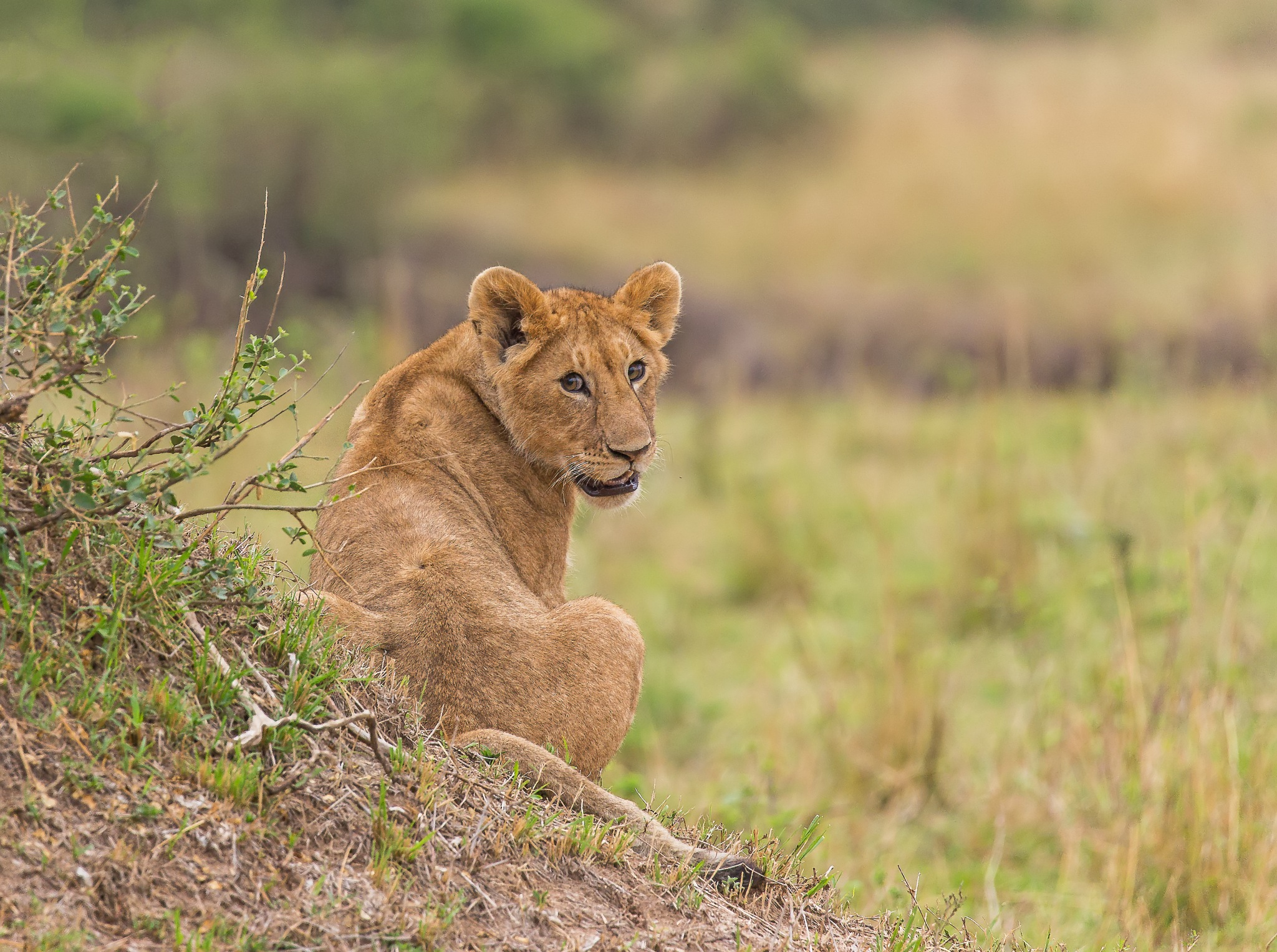 The curious one... by DrSudhir Hasamnis