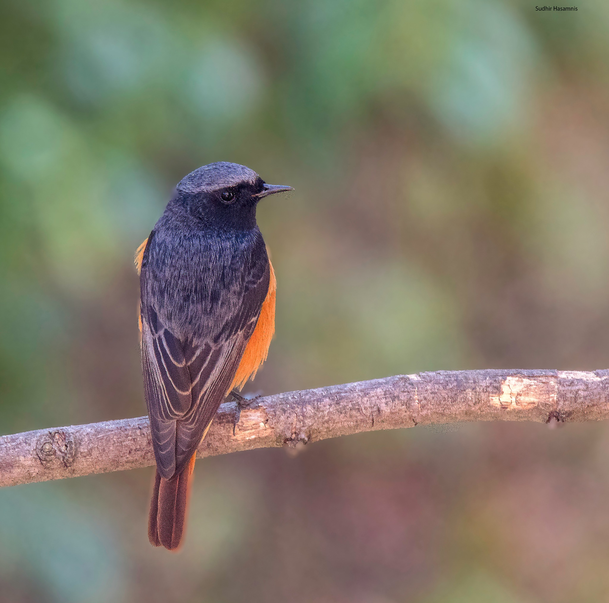 Black Redstart by DrSudhir Hasamnis