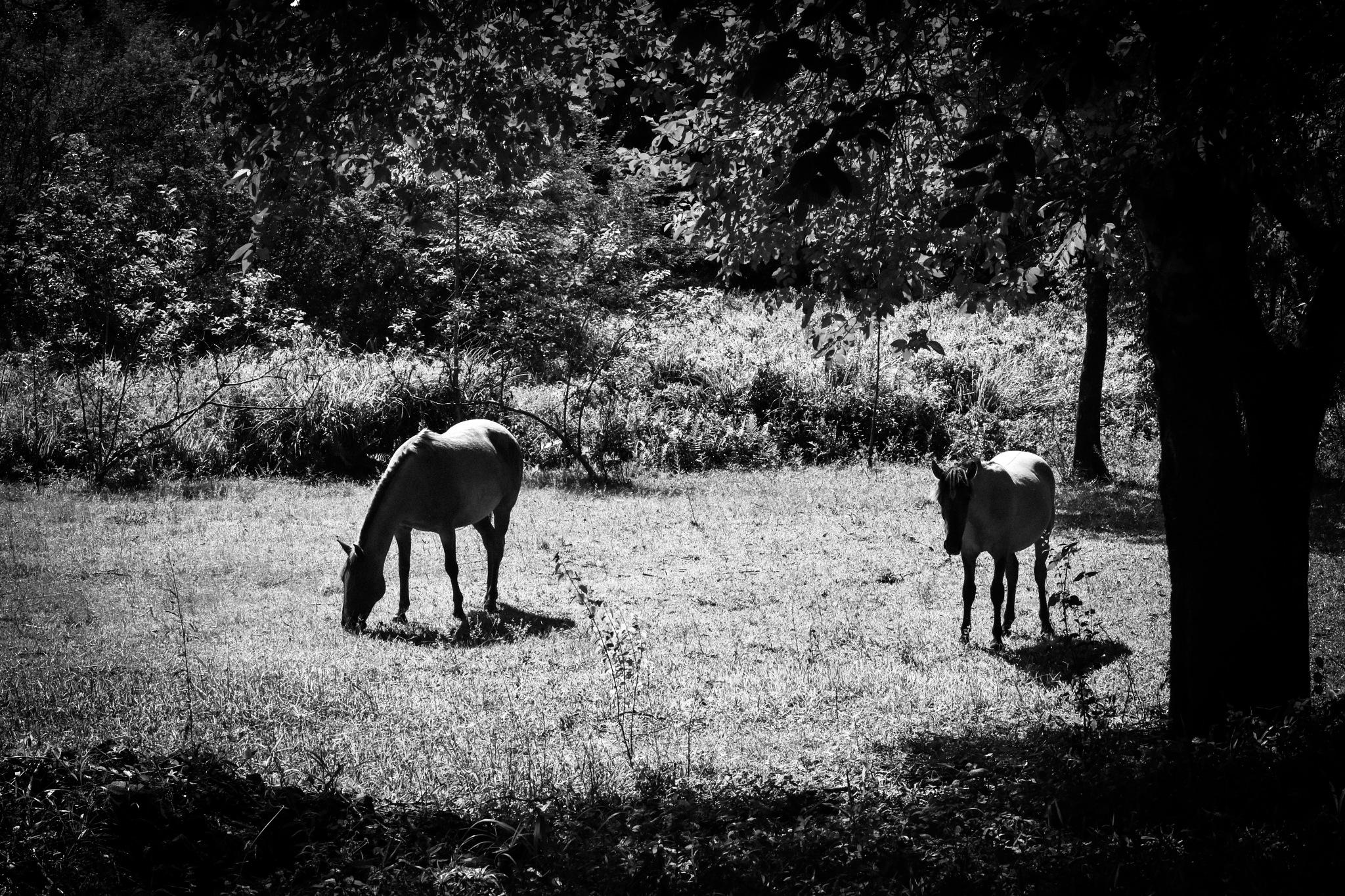Photo in Black and White #cavalos #vegetação #arvore #campo