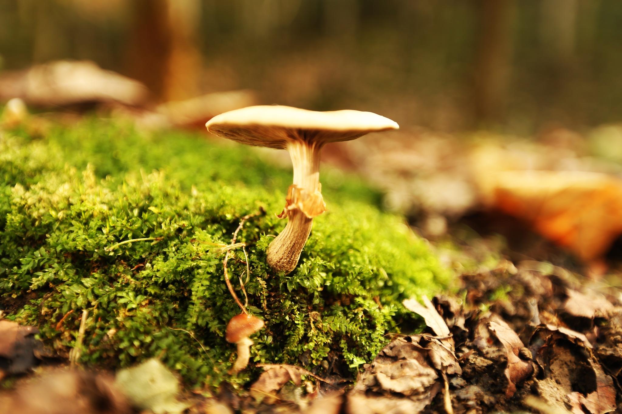 Mushroom by saeid parchini