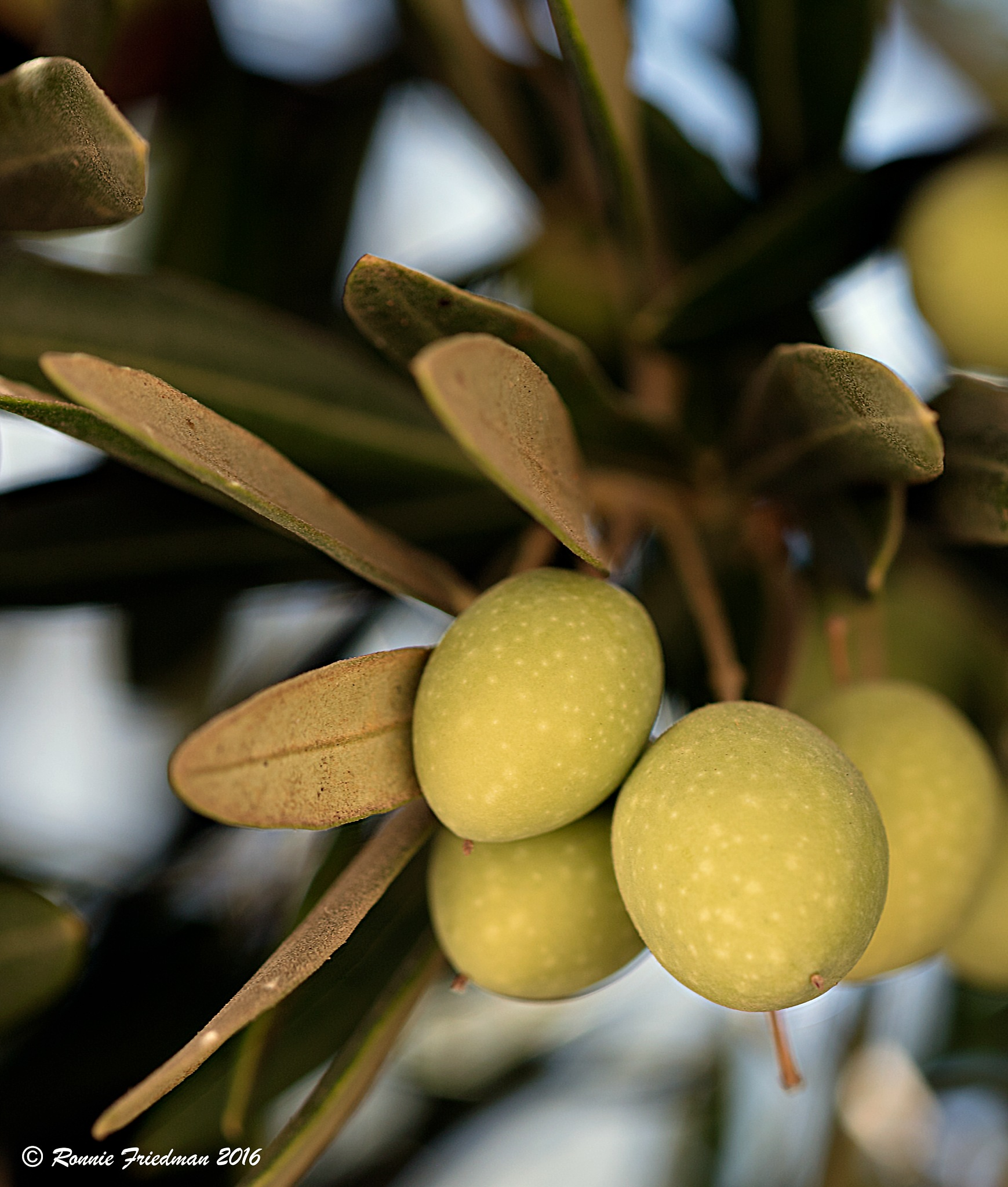Olives by Ronnie Friedman