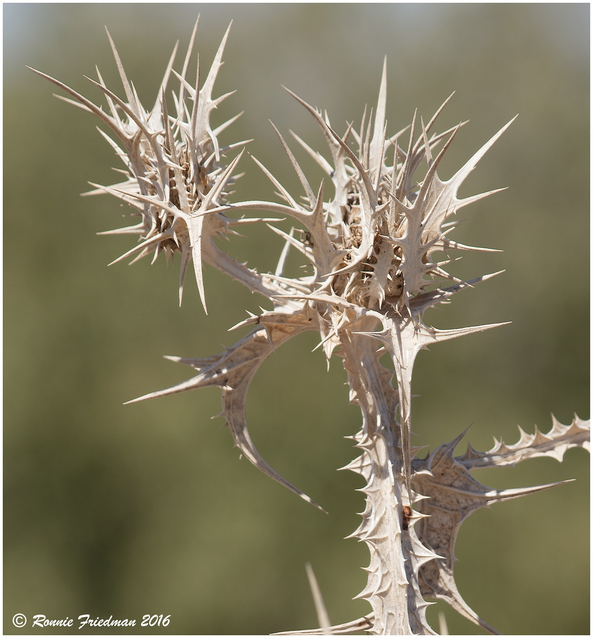 More thistle skeletons. by Ronnie Friedman