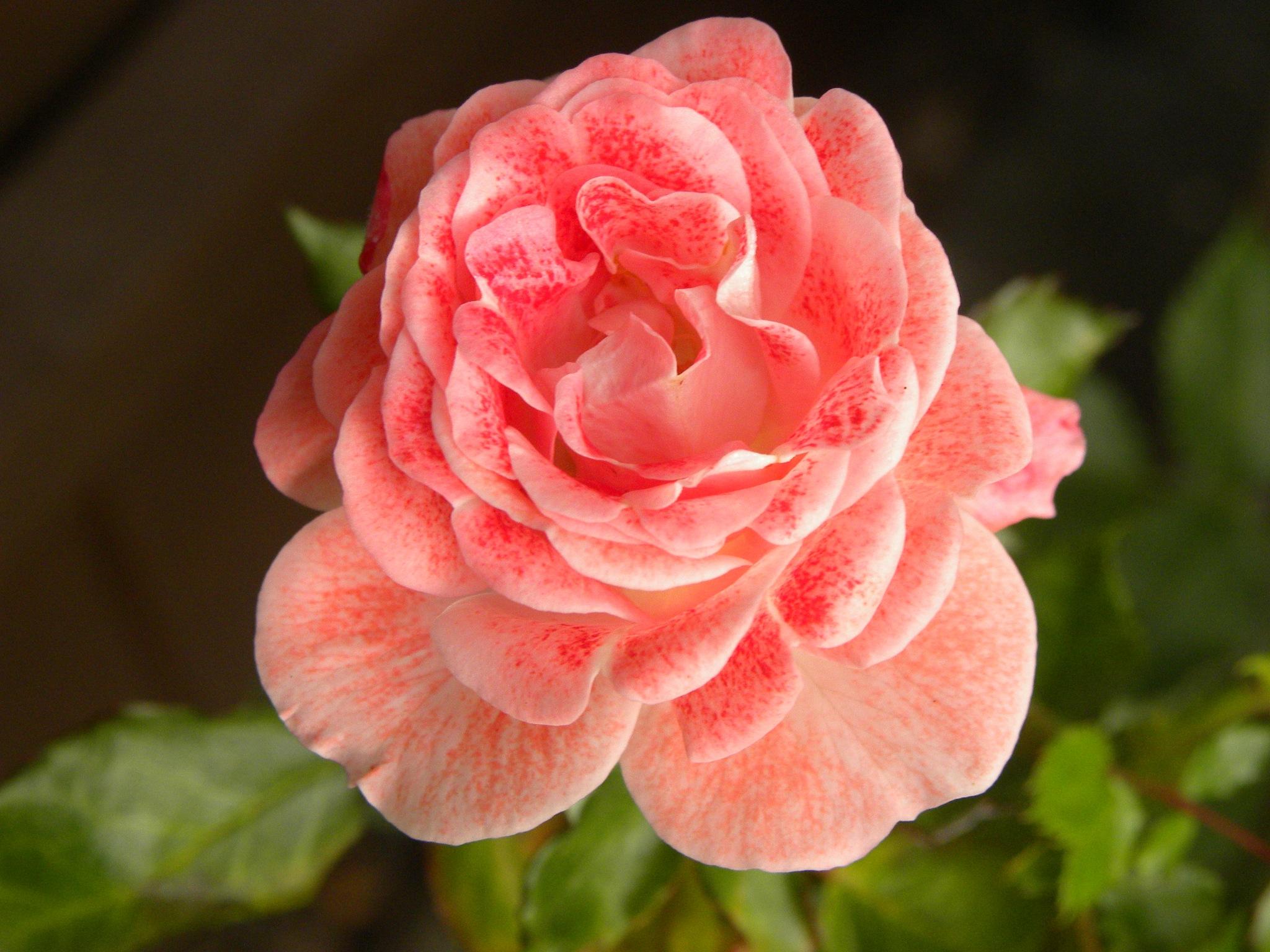 Rose by Hunter8