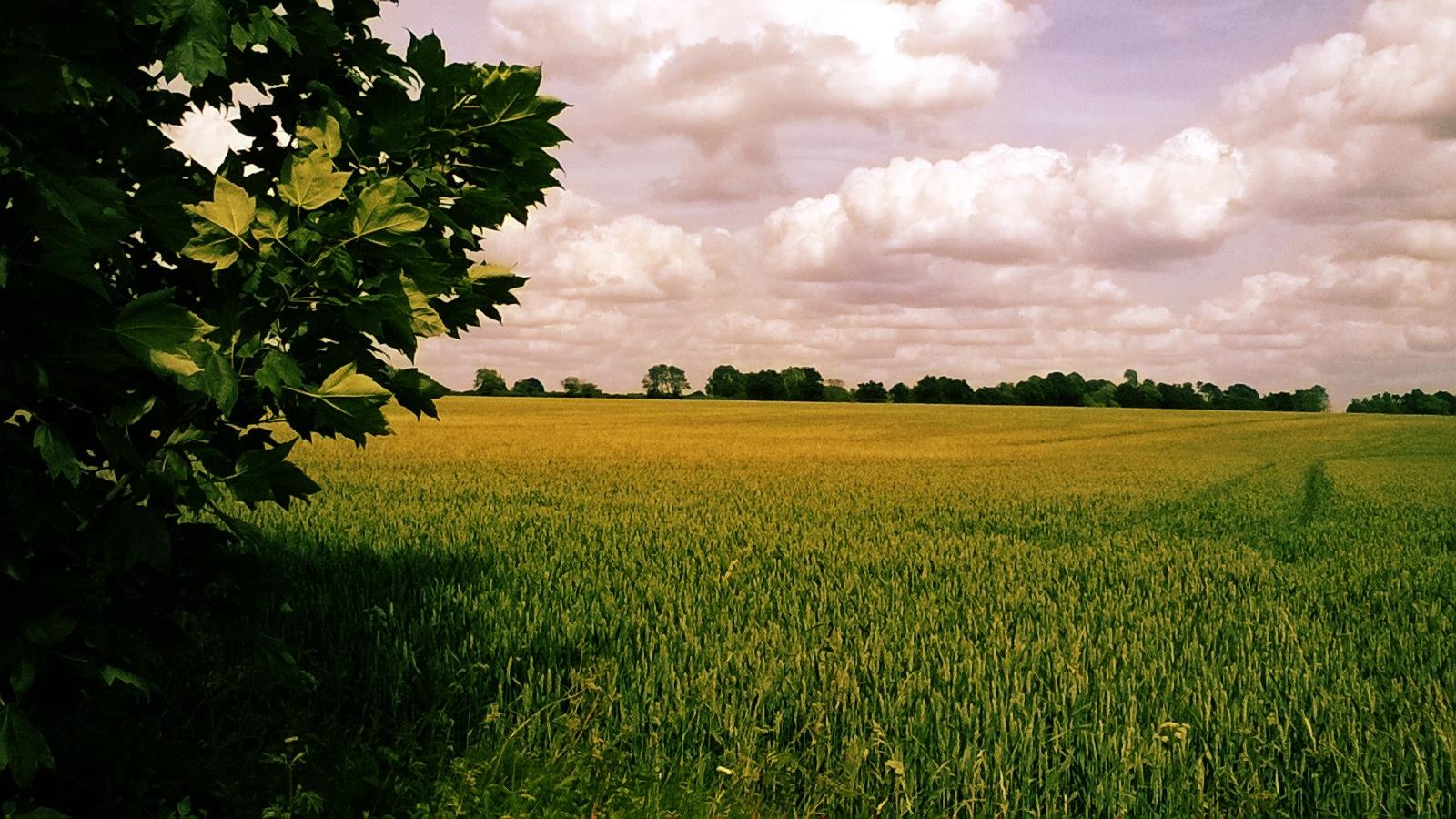 Field of Wheat by Hunter8
