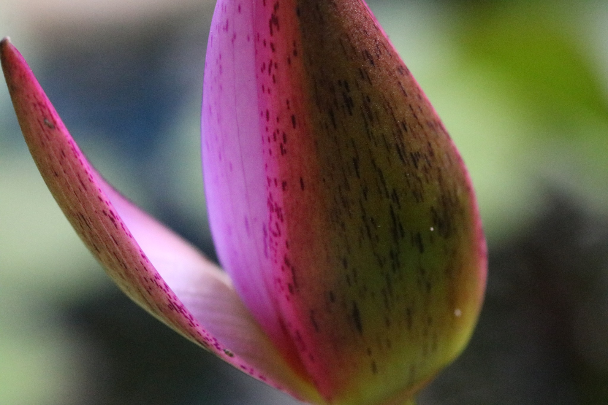Lily Bud  by Surekha Pillai