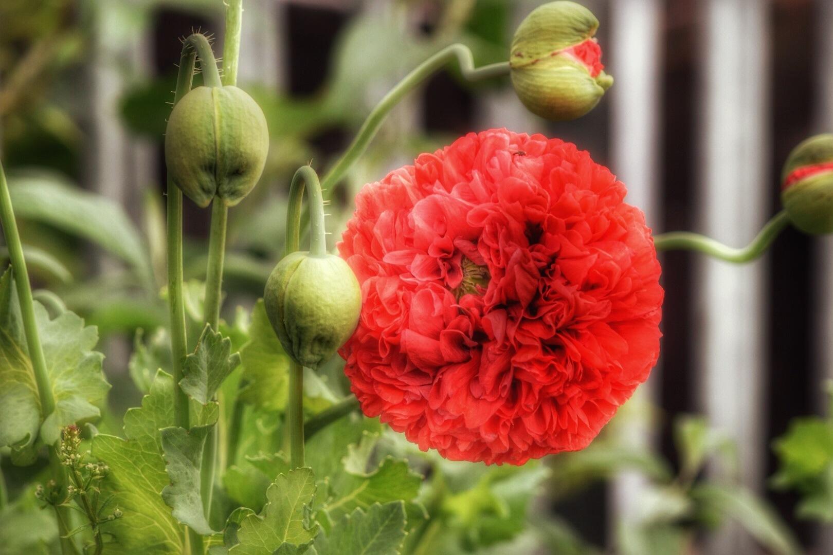 Poppy  by Isajon