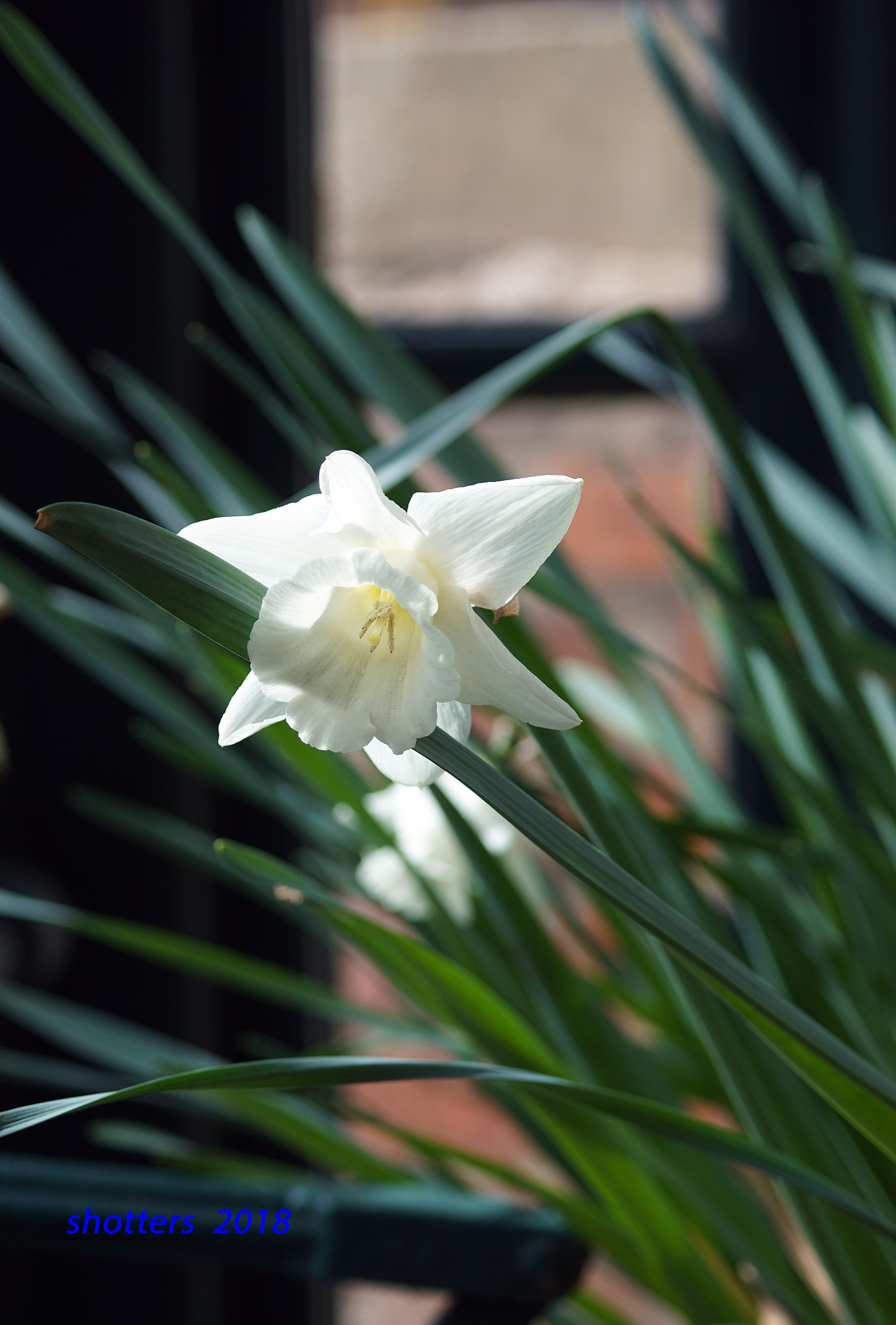 WHITE DAFF by shotters
