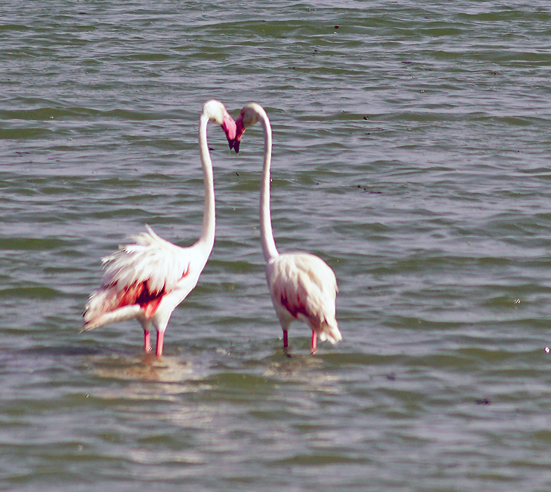 KISSING FLAMINGOS by shotters