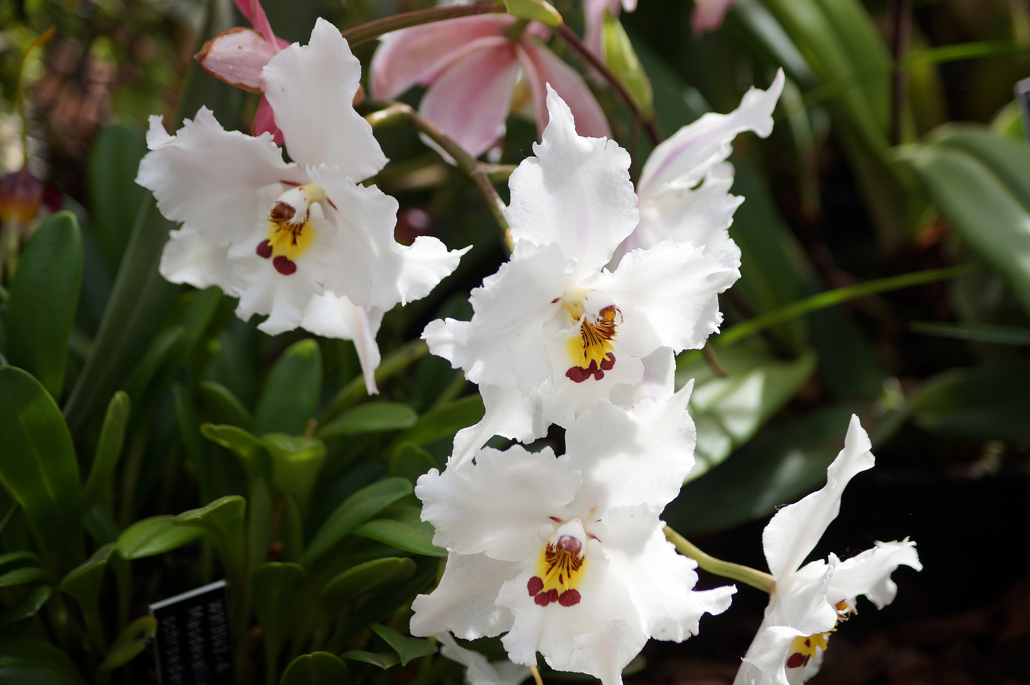 WHITE ORCHID  by shotters