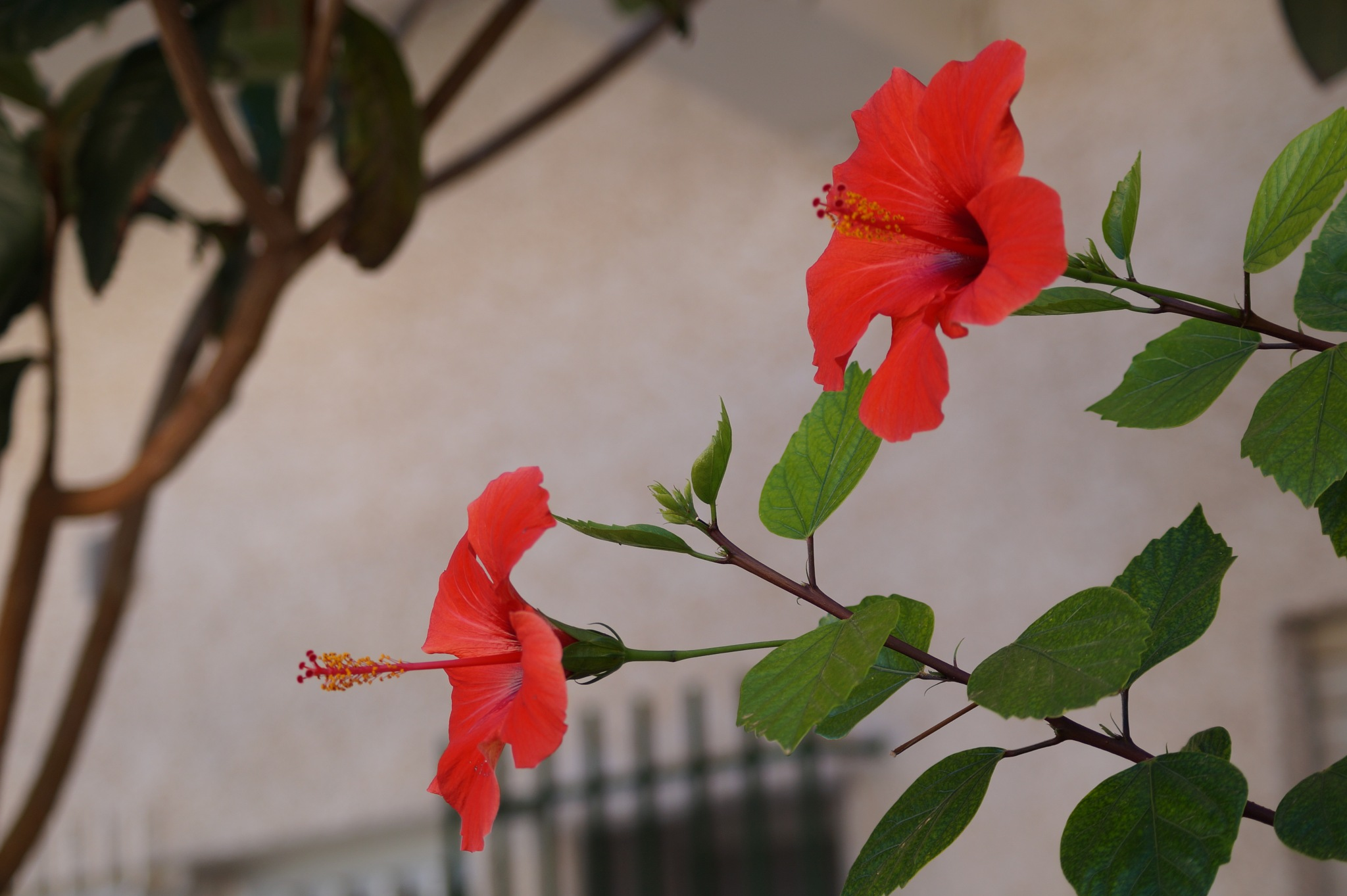 Hibiscus rosa-sinensis  by shotters