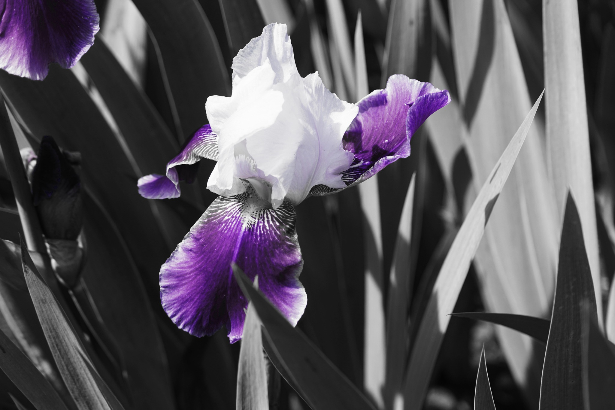 ROYAL STORM bearded iris by shotters