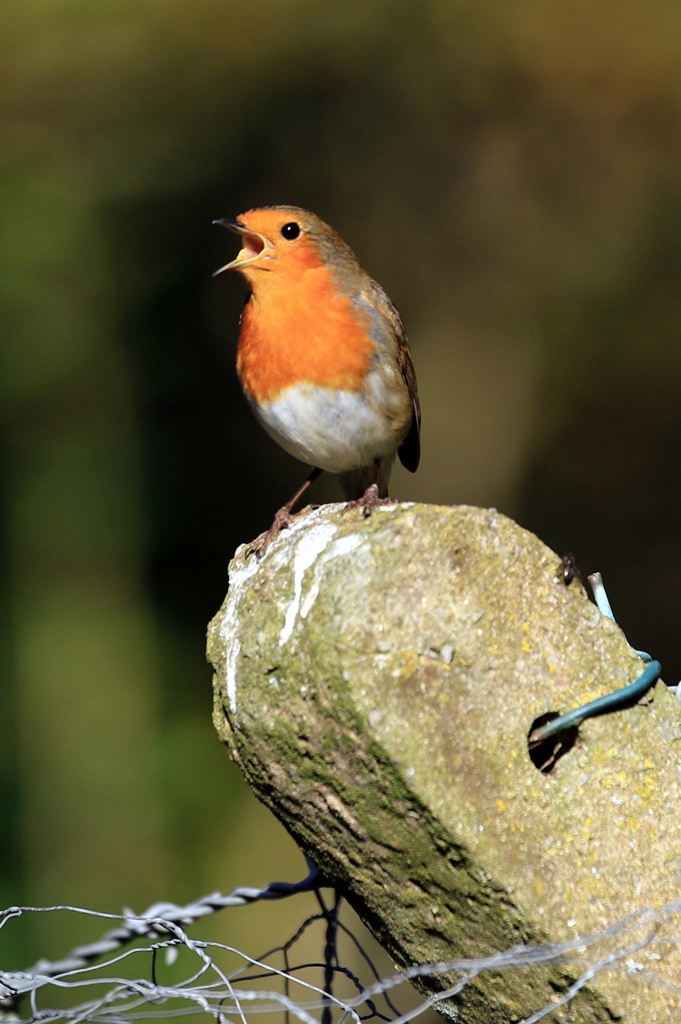 Singing Robin by John Davies
