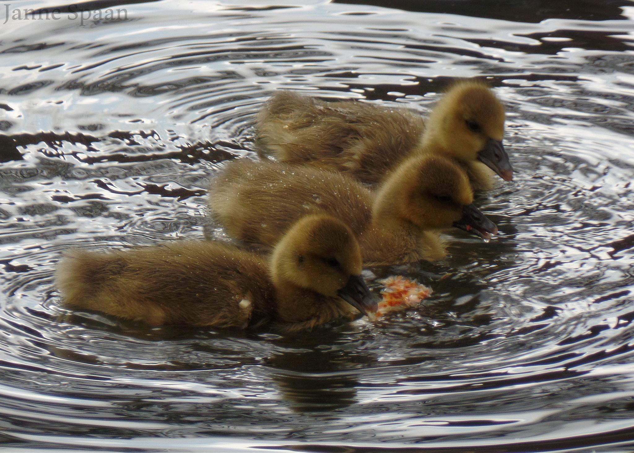 Ducklings by Janne Spaan