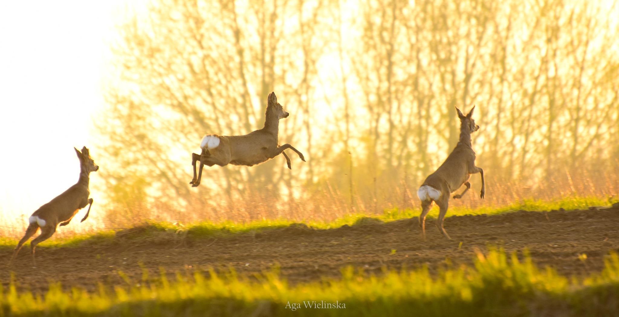 Photo in Animal #jump #jumper #jumping #run #sport #extreme #roe deer #deer #deers #animal #animals #nature #naturephotography #naturephotographer #wild #wildlife #wildlifephotography #wildlifephotographer #spring #light