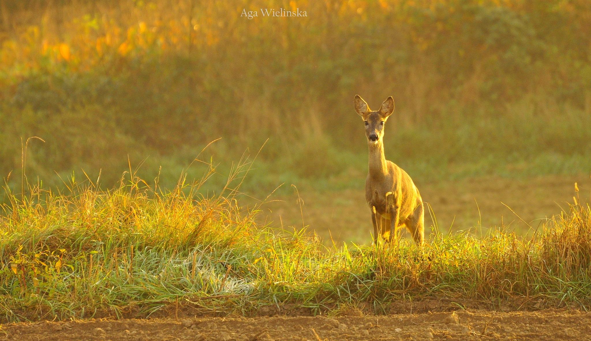 Roe deer.  by agawielinska