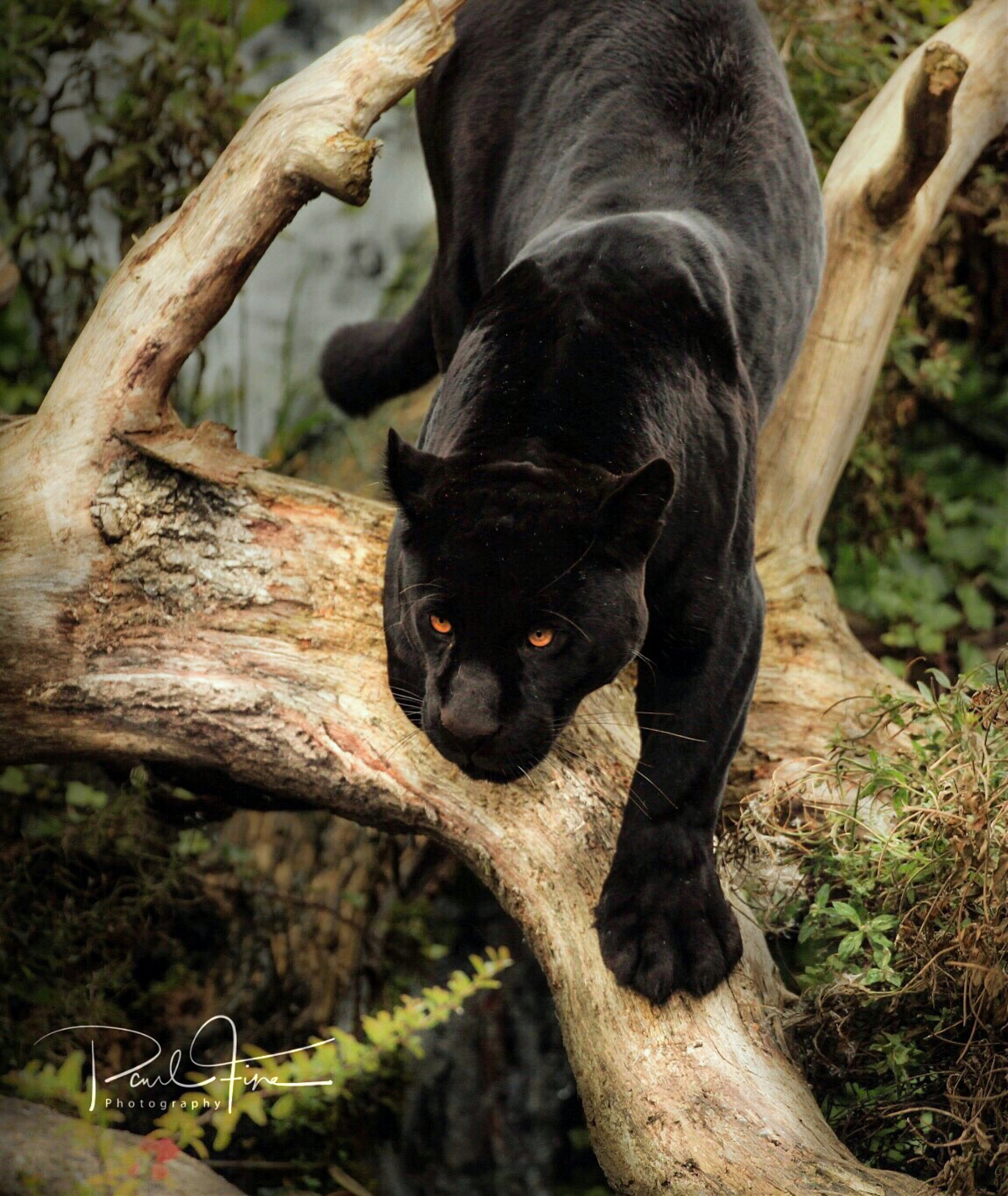 Black jaguar  by PaulFine