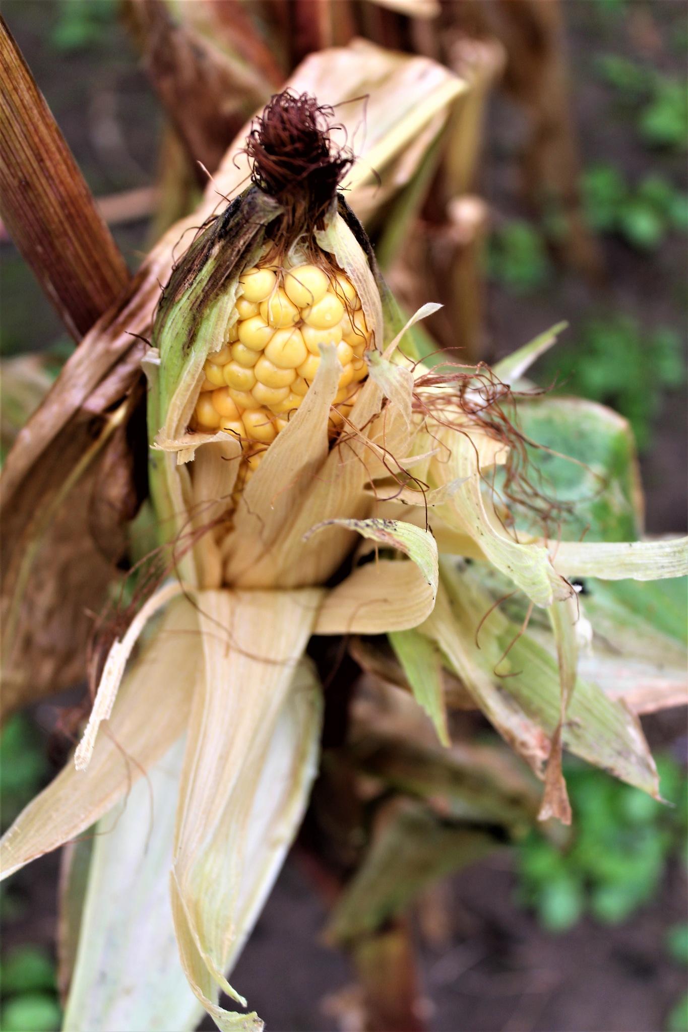 corn on the cob by Elizabeth Hannah