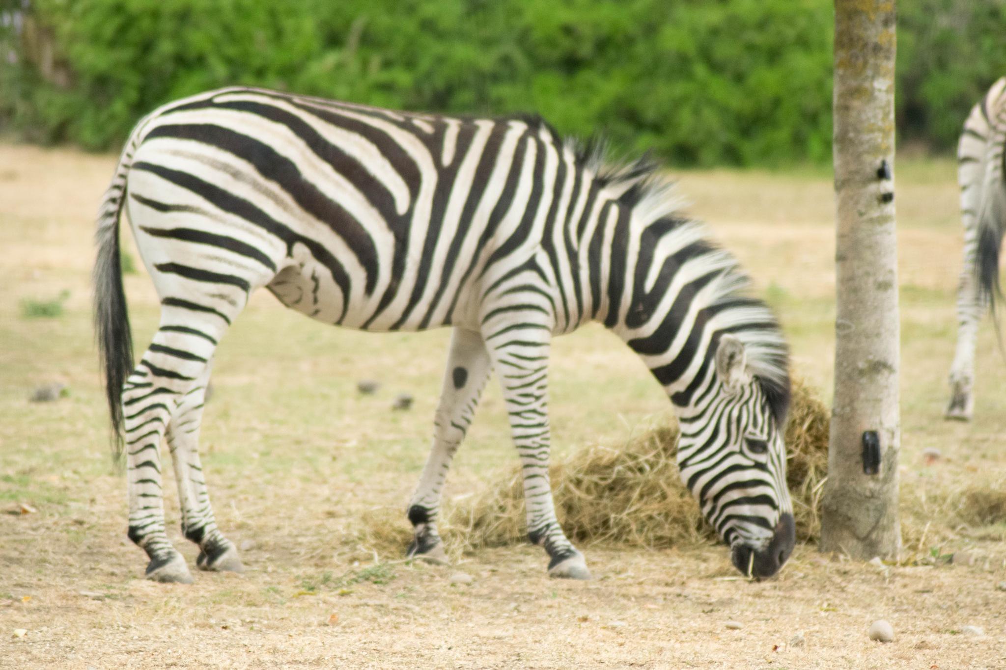 Zebra Grazing by Dan Waters