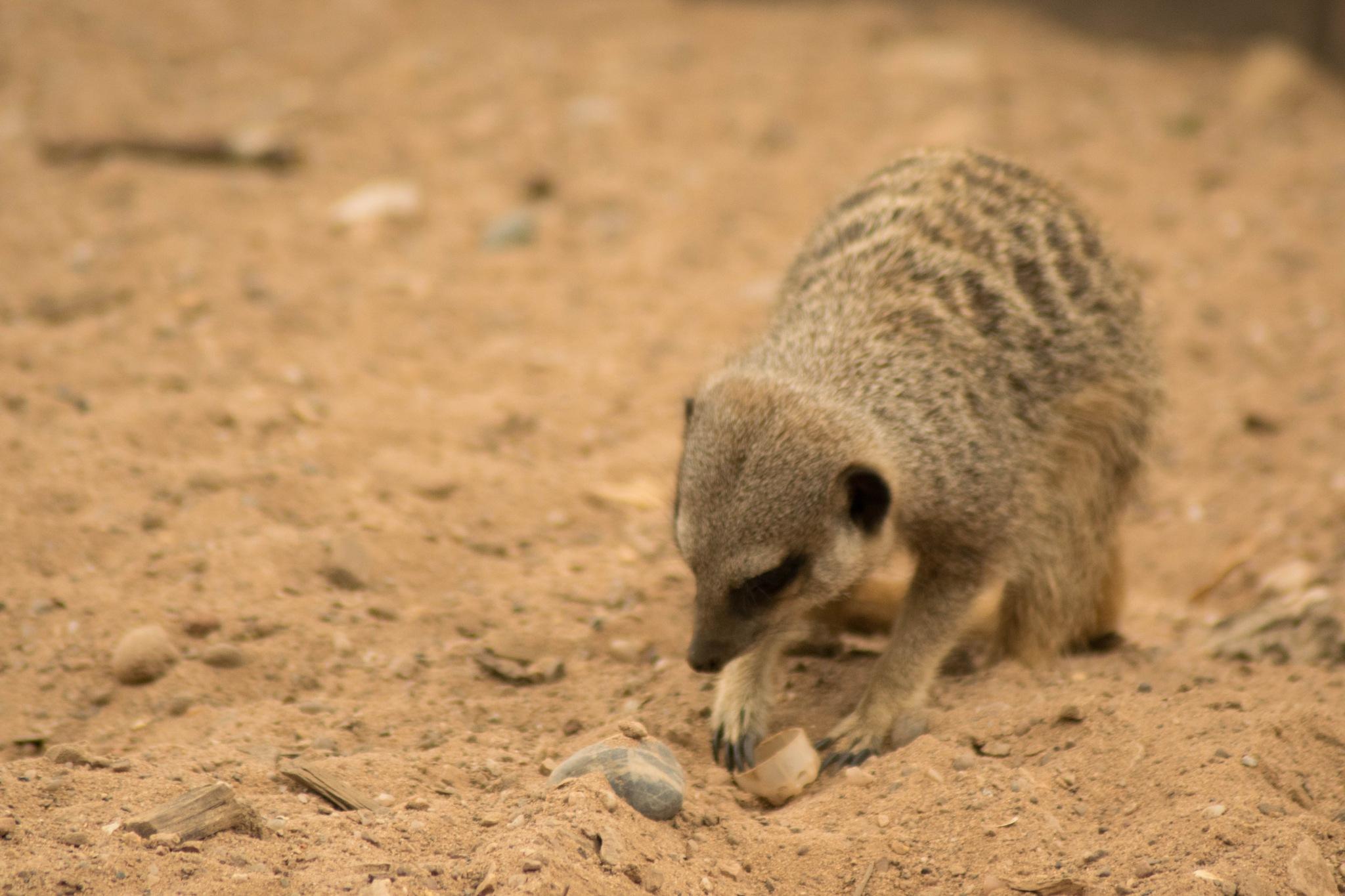 Meerkat and Bottlecap by Dan Waters