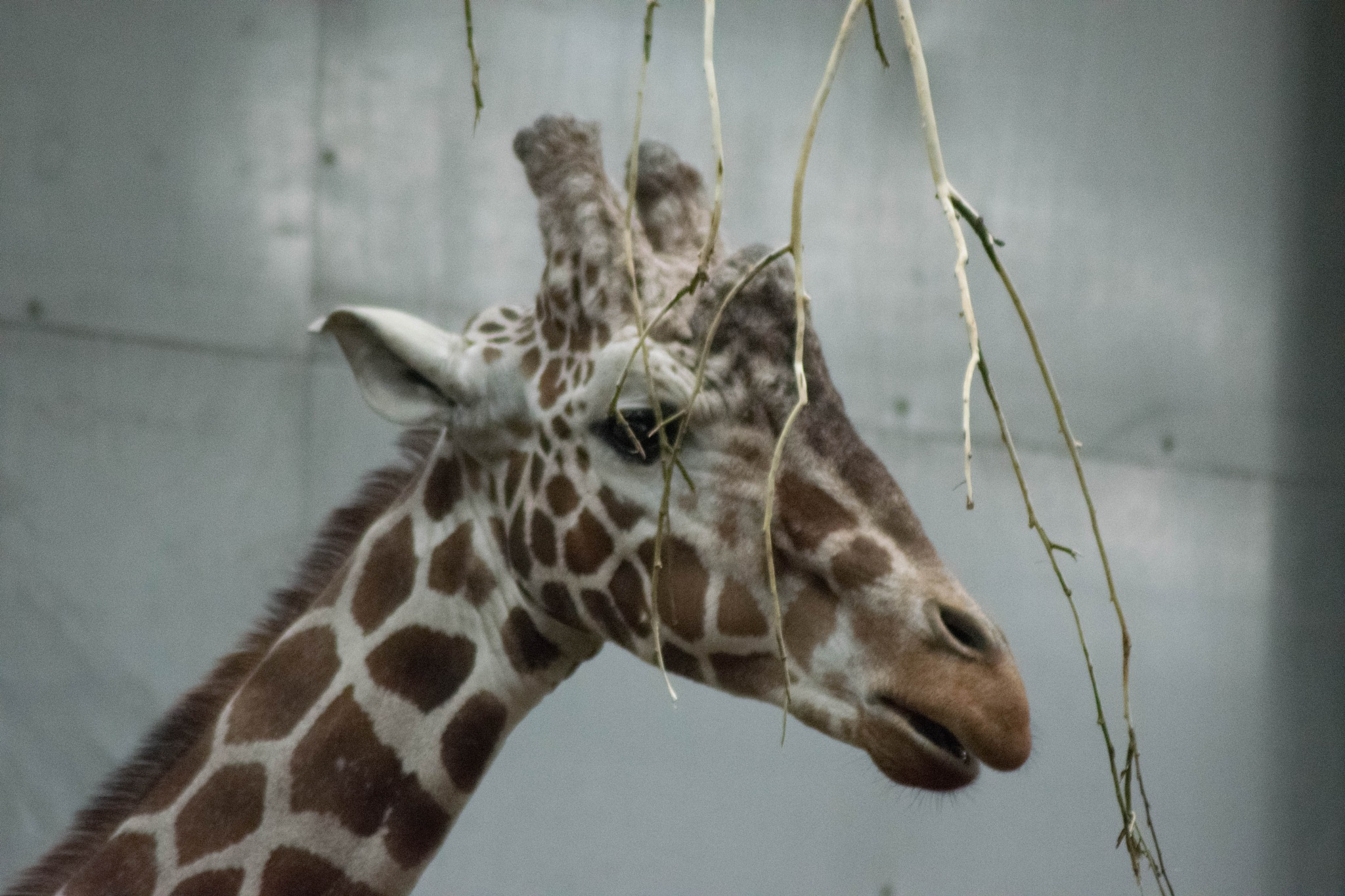 Giraffe by Dan Waters