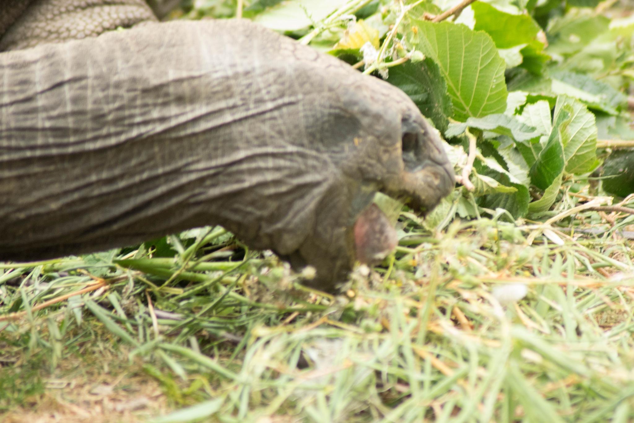 Giant Tortoise Eating by Dan Waters