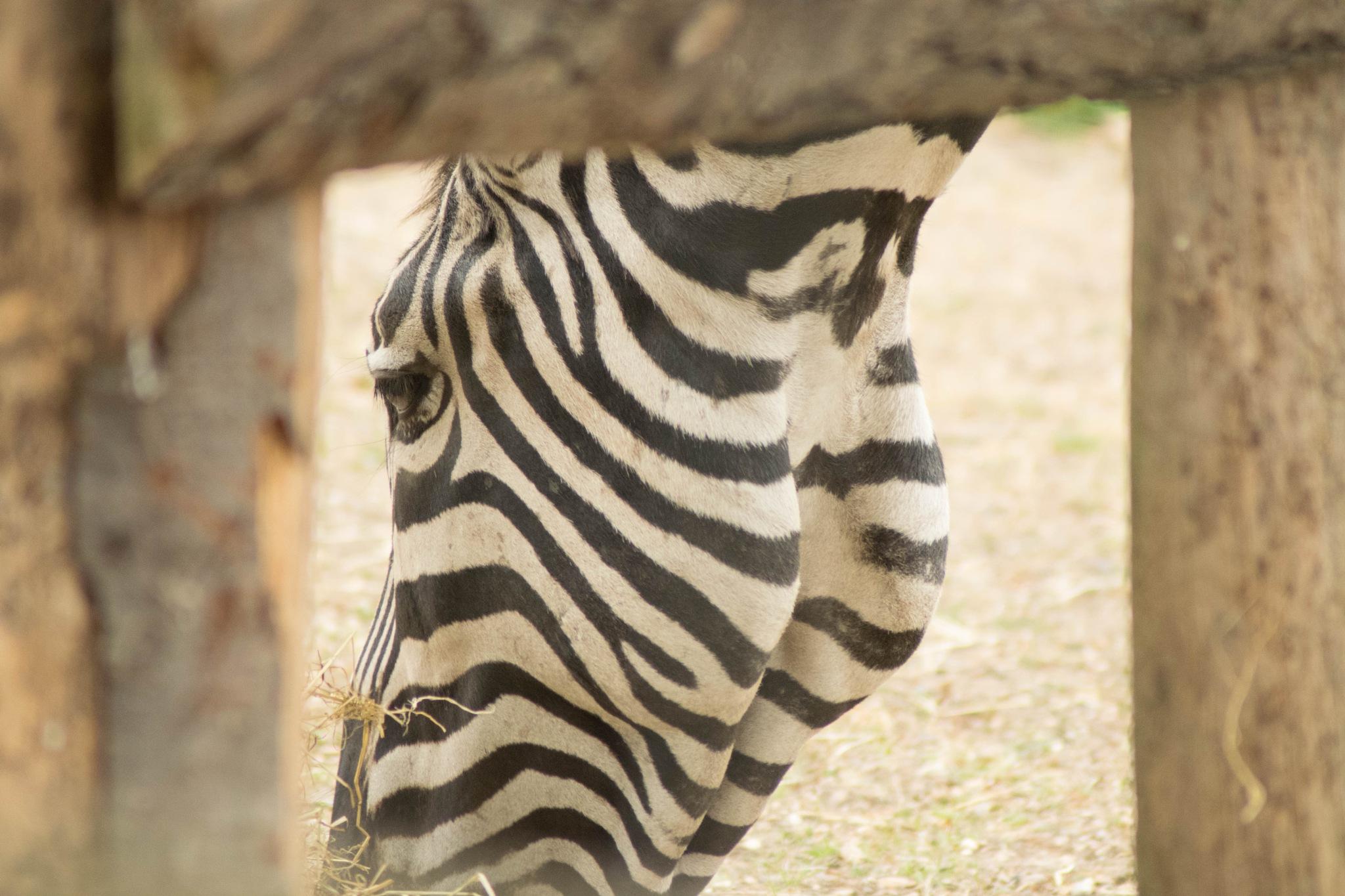 Zebra eating by Dan Waters