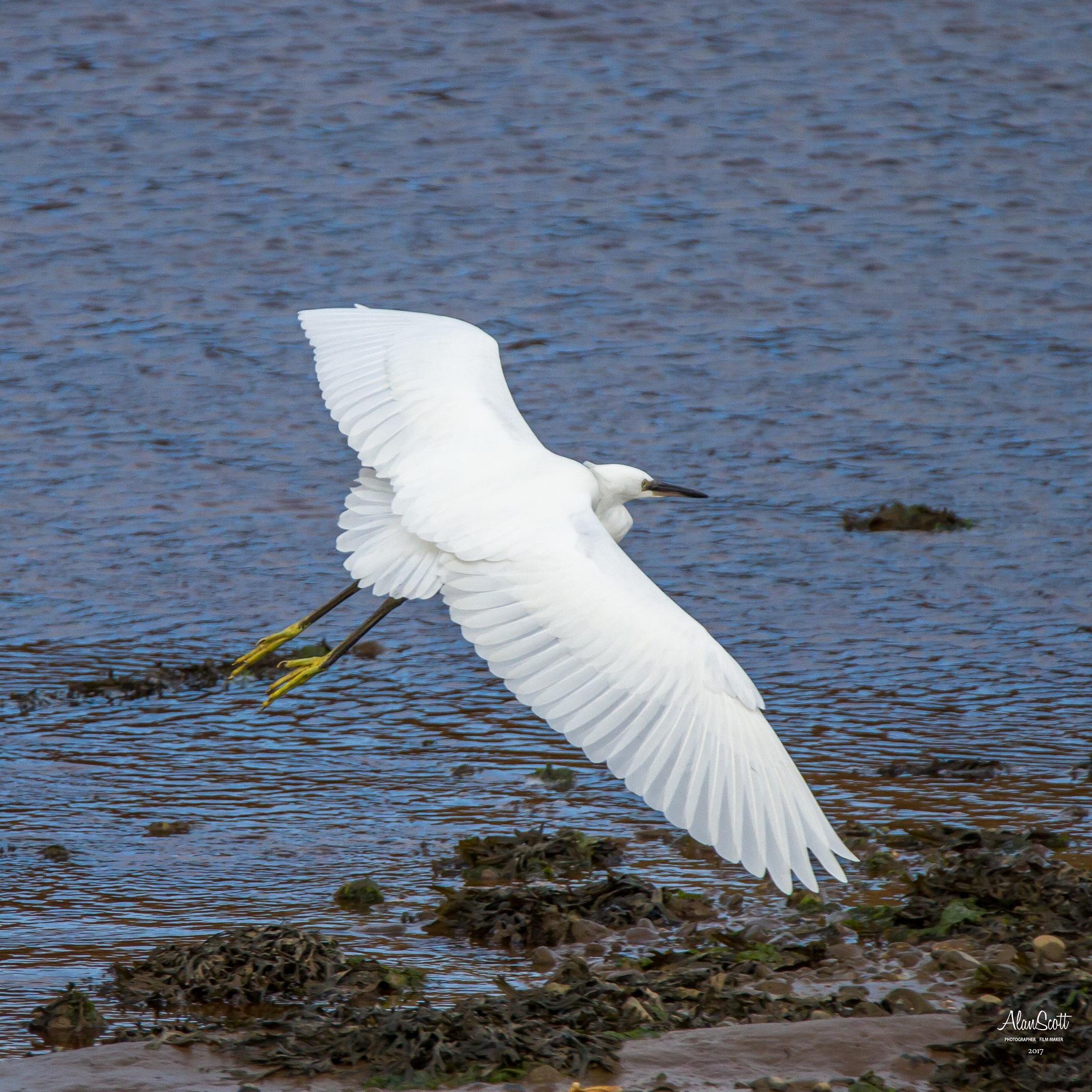 Egret by alanscott