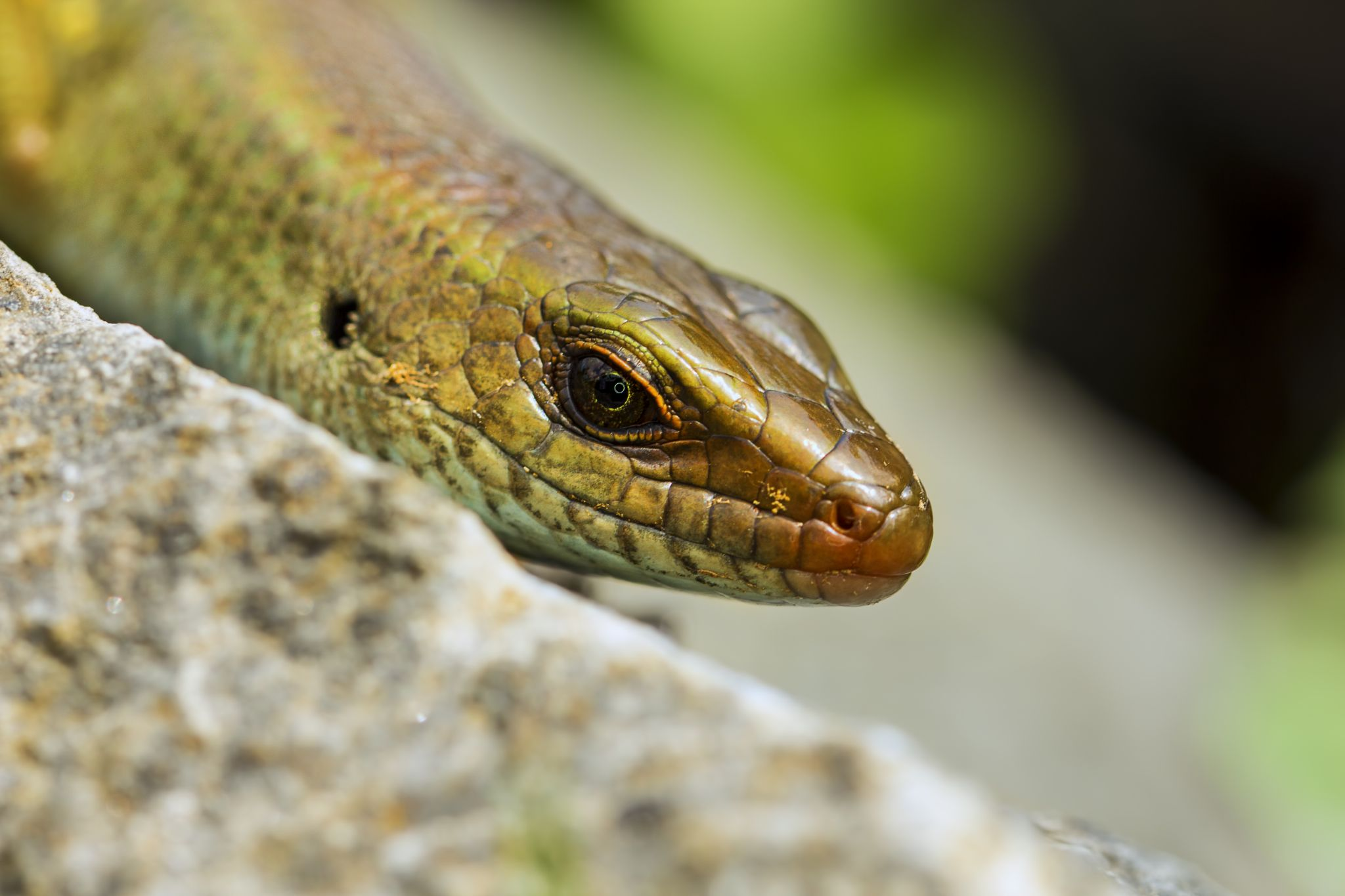 Lizard by nurvita dewi