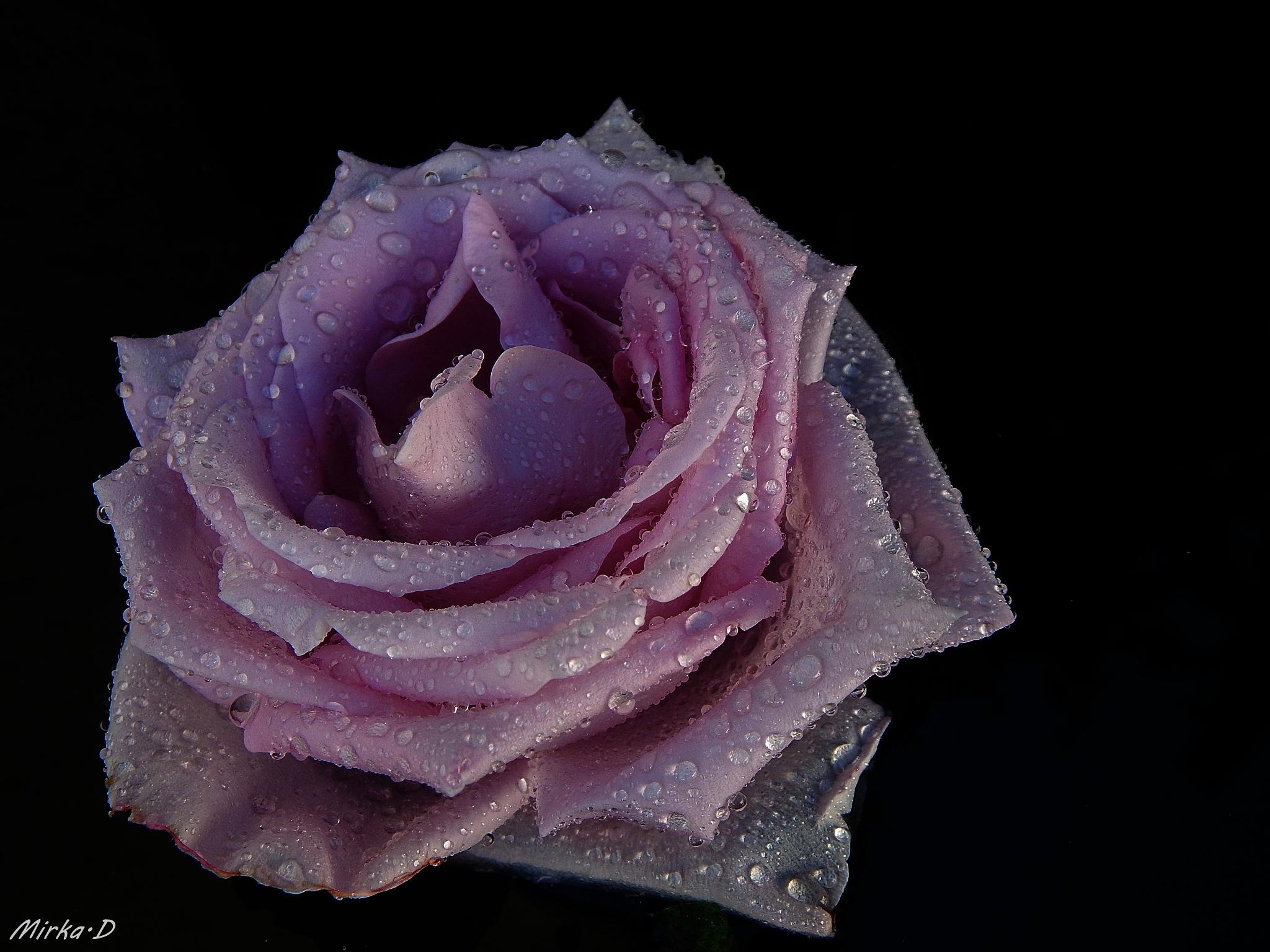 Roses by Amarylka7