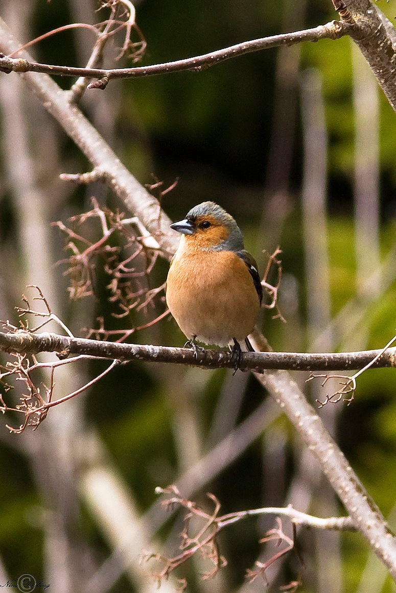 The common chaffinch - Bofink - Fringilla coelebs by Nina