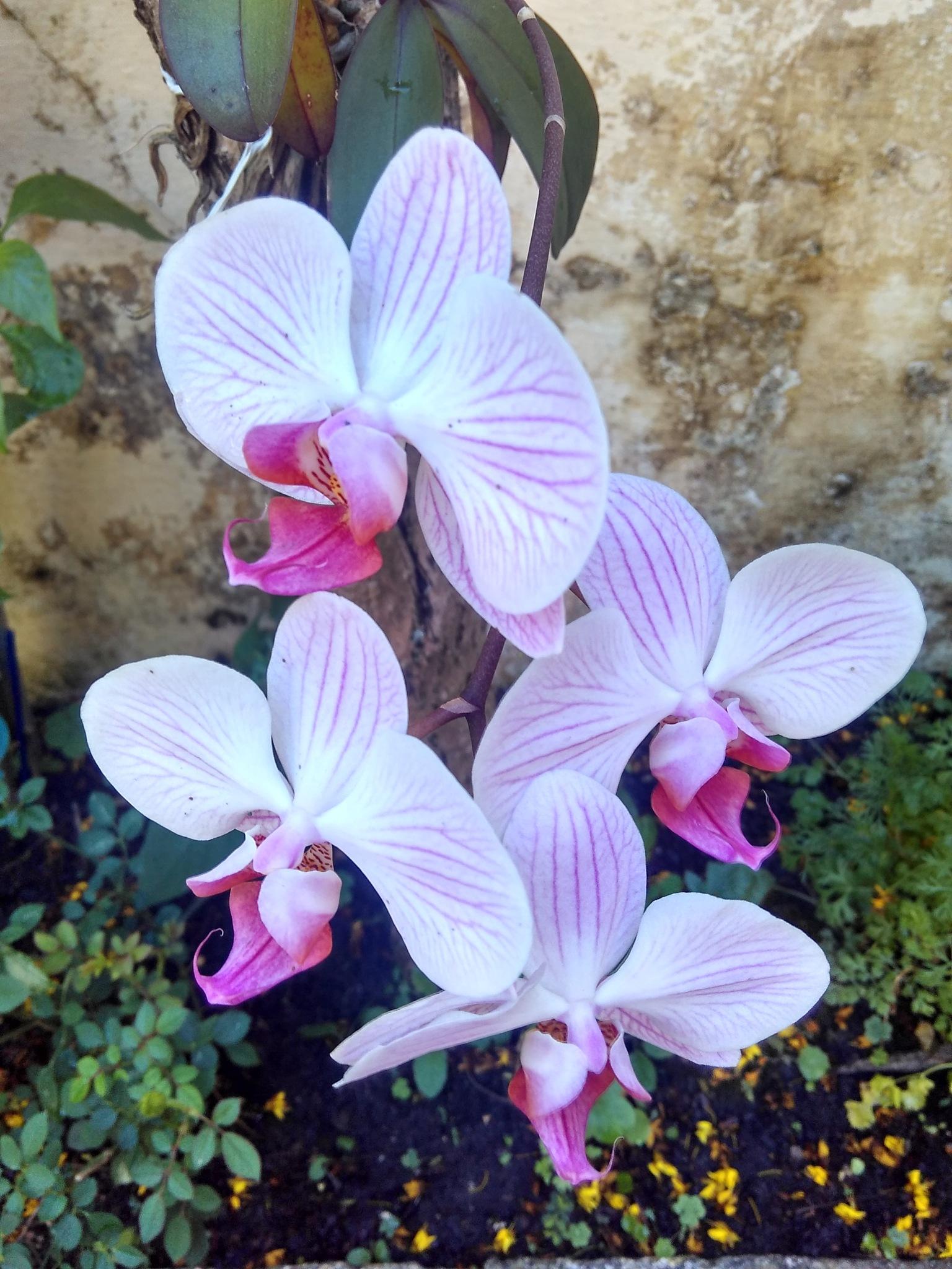 orquídea by miriam.moura