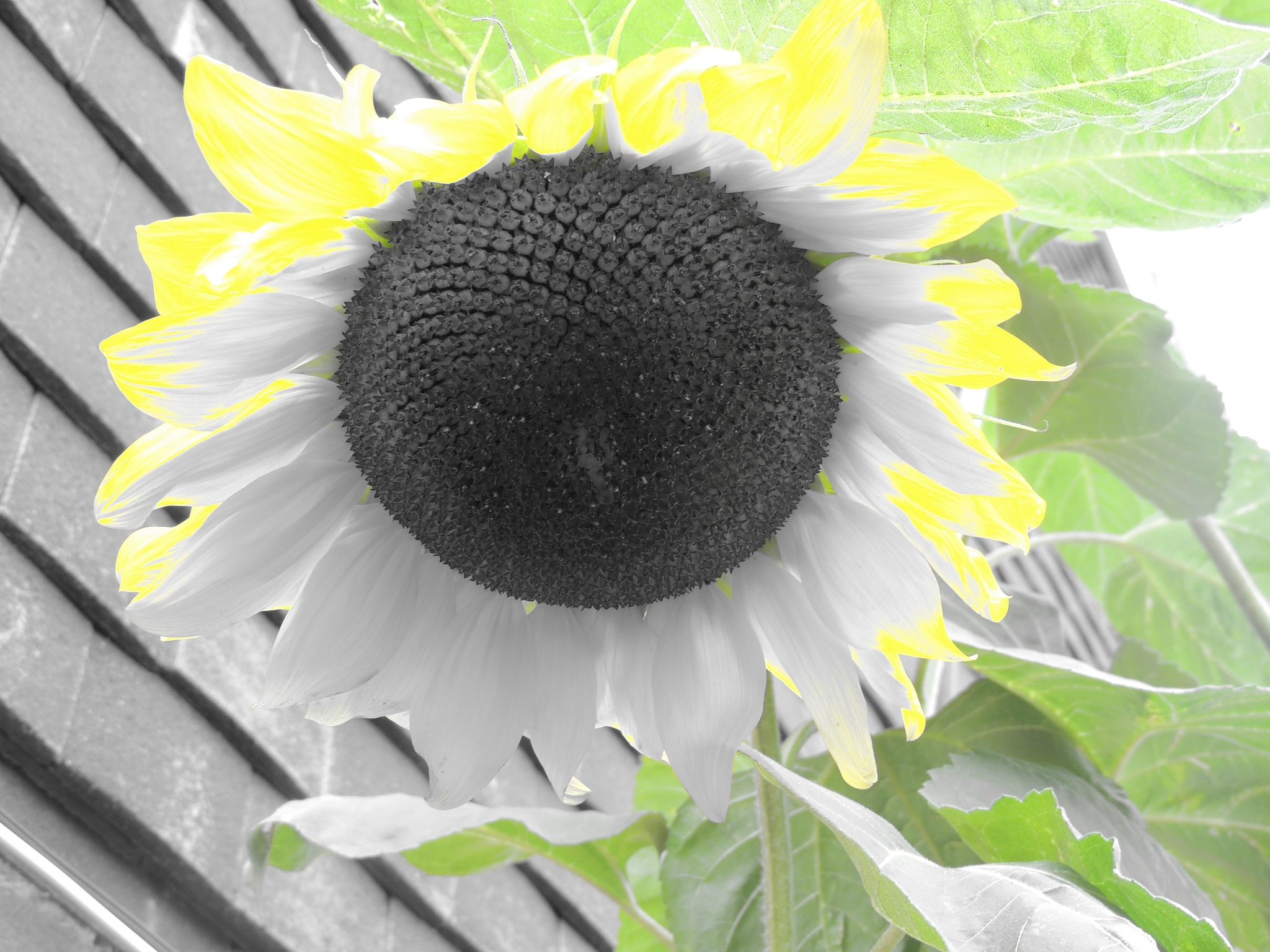 Sunflower by David Wagner