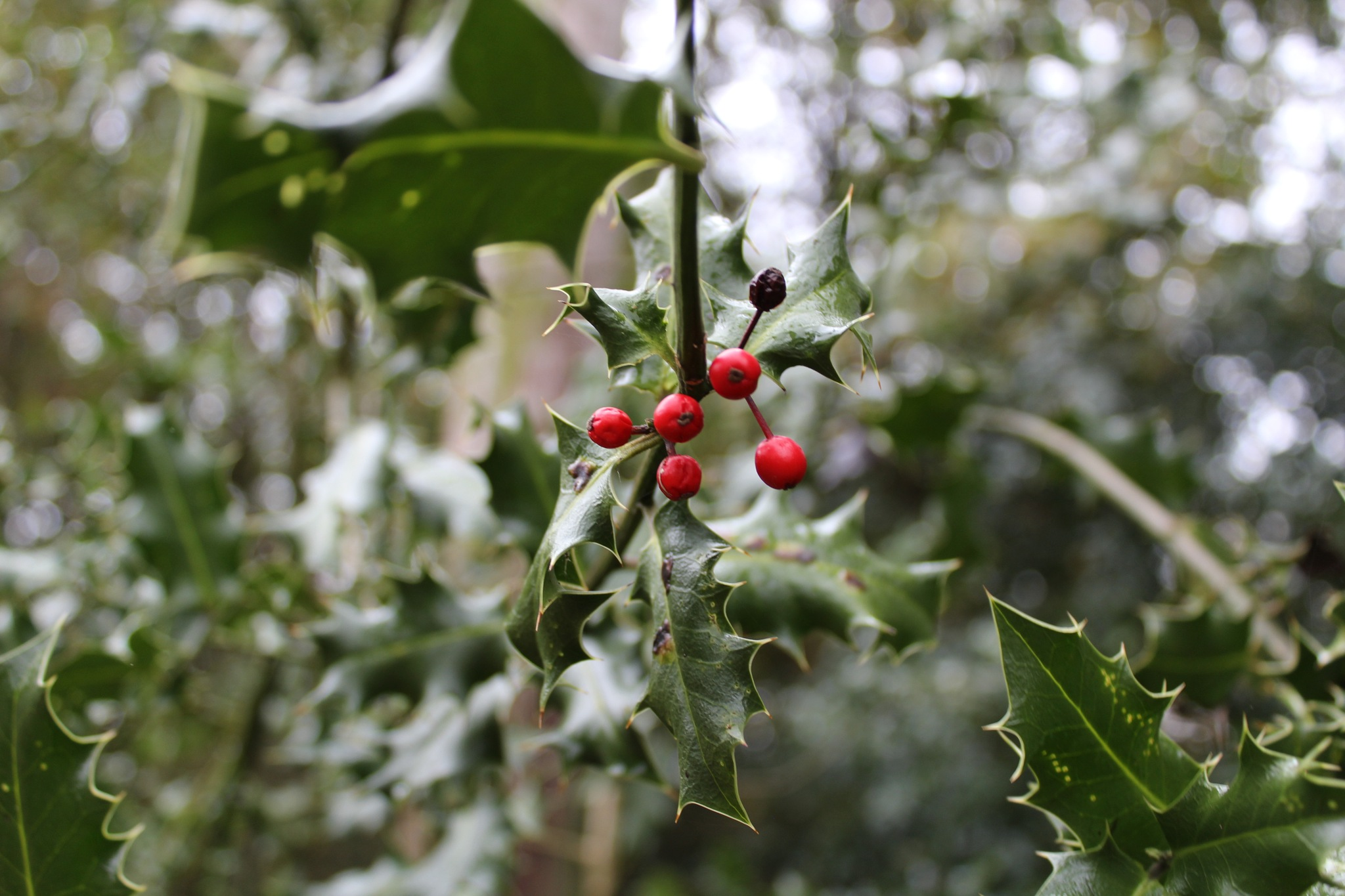 Holly Berries. by David Wagner