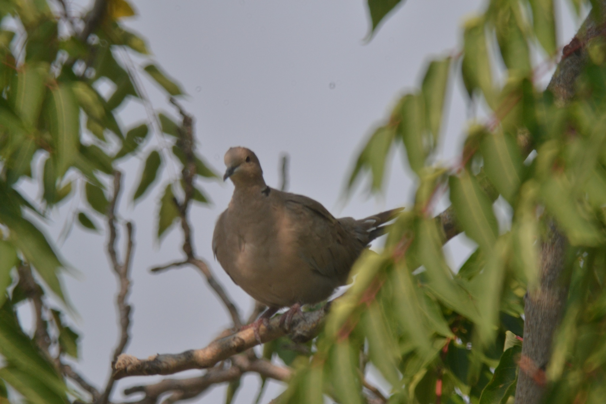 Ringneck Dove by Smitty1960