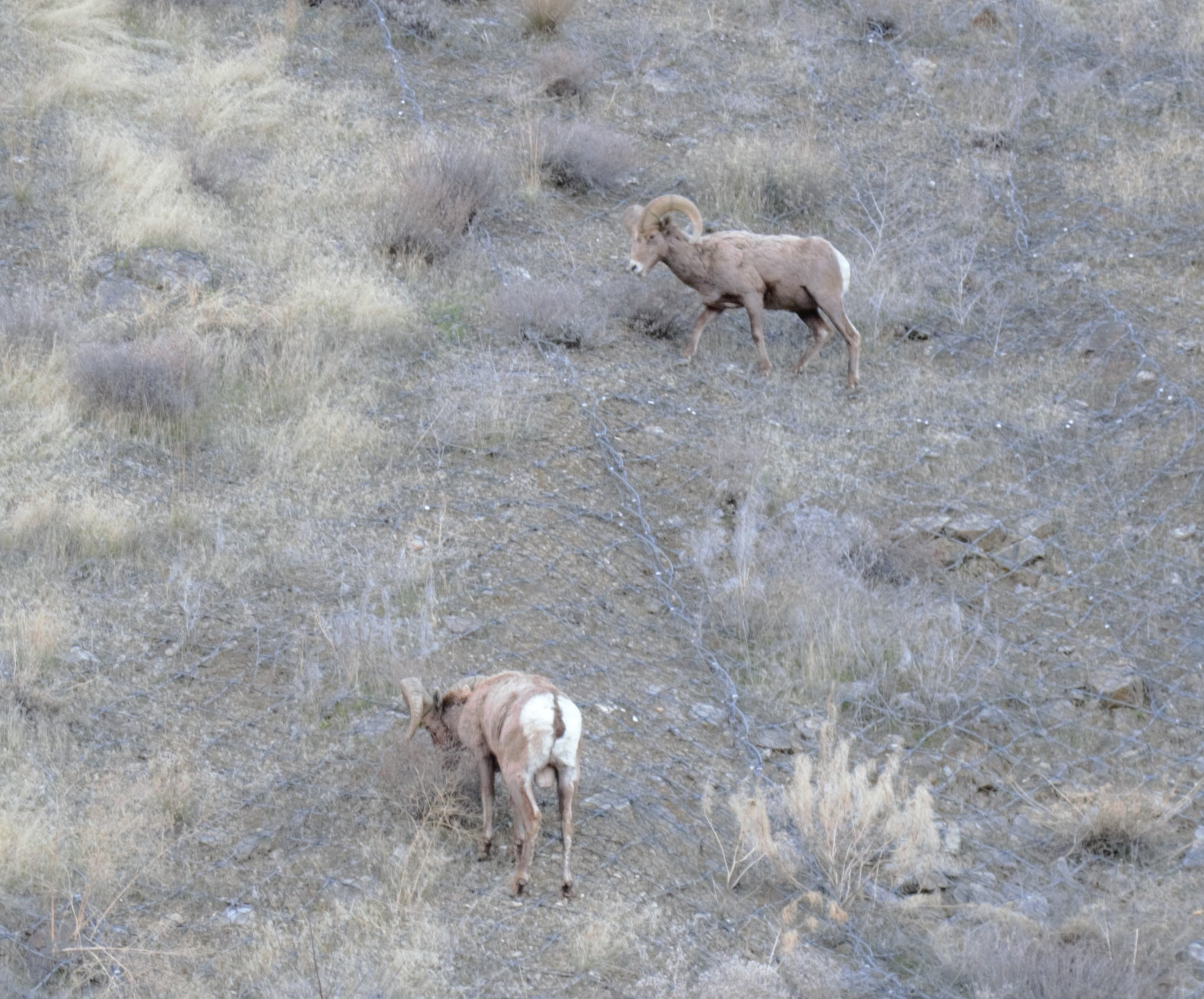 Pair of Ram Mountain Sheep  by Smitty1960