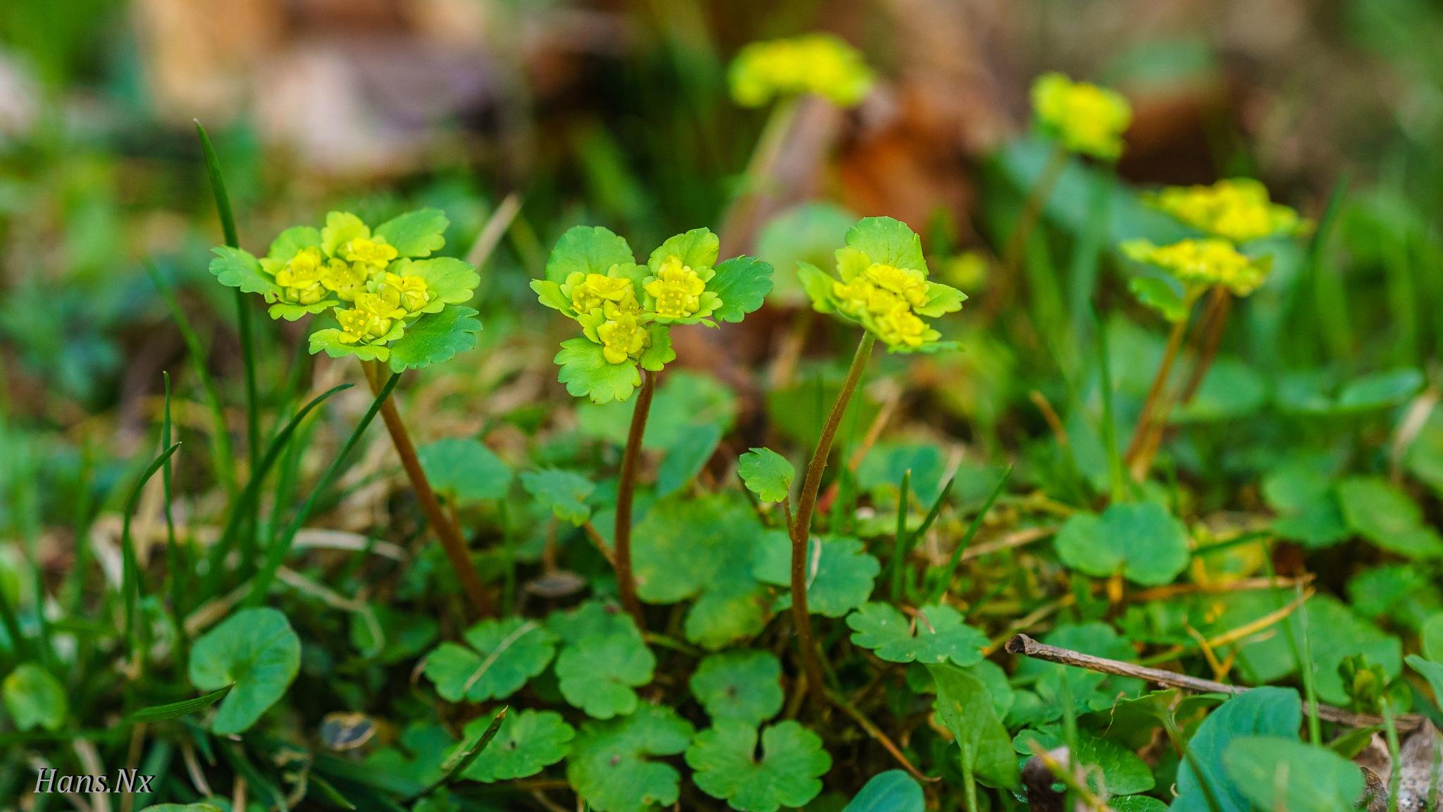 Chrysosplenium alternifolium - Gullpruda by Hans Nx