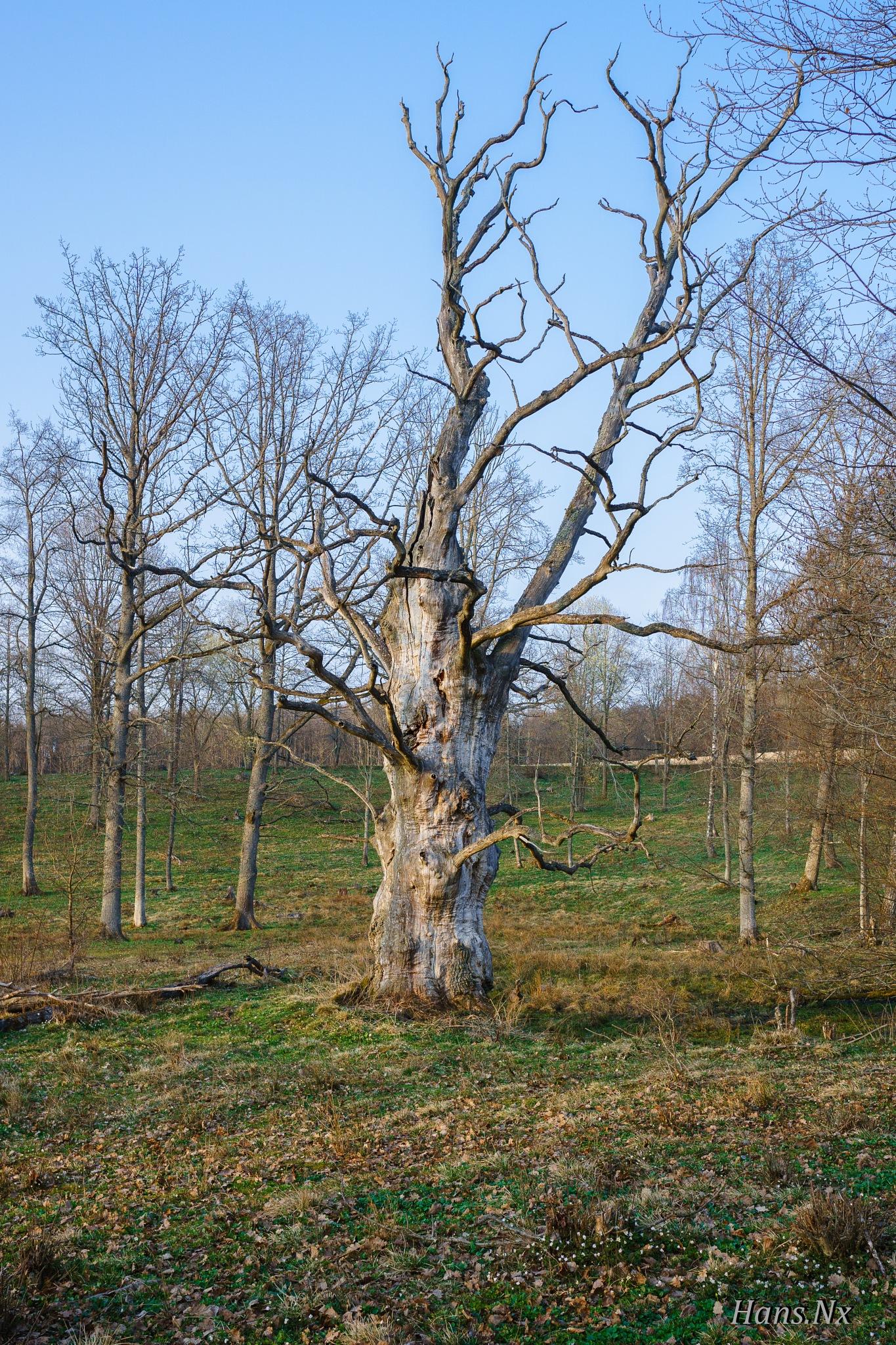 dead oak tree in the meadow by Hans Nx