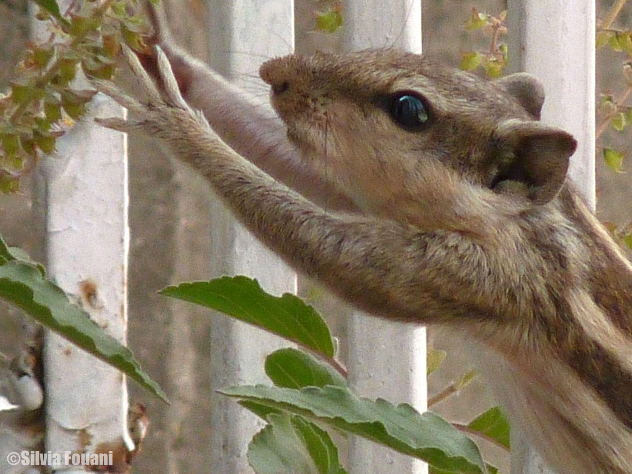 Squirrel enjoying my Tulsi by SilviaPhotos