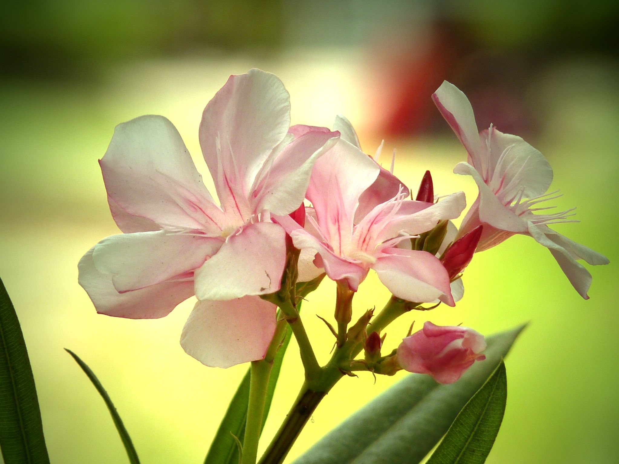 Oleander (Nerium) by SilviaPhotos