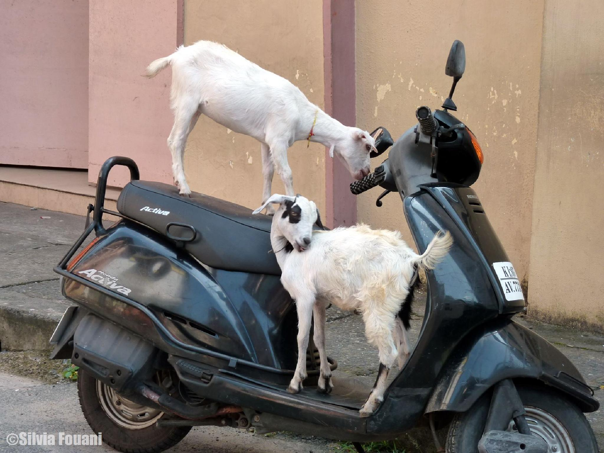 Motorized goats in Fort Cochin by SilviaPhotos
