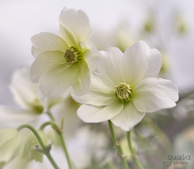 White Clematis by Guava