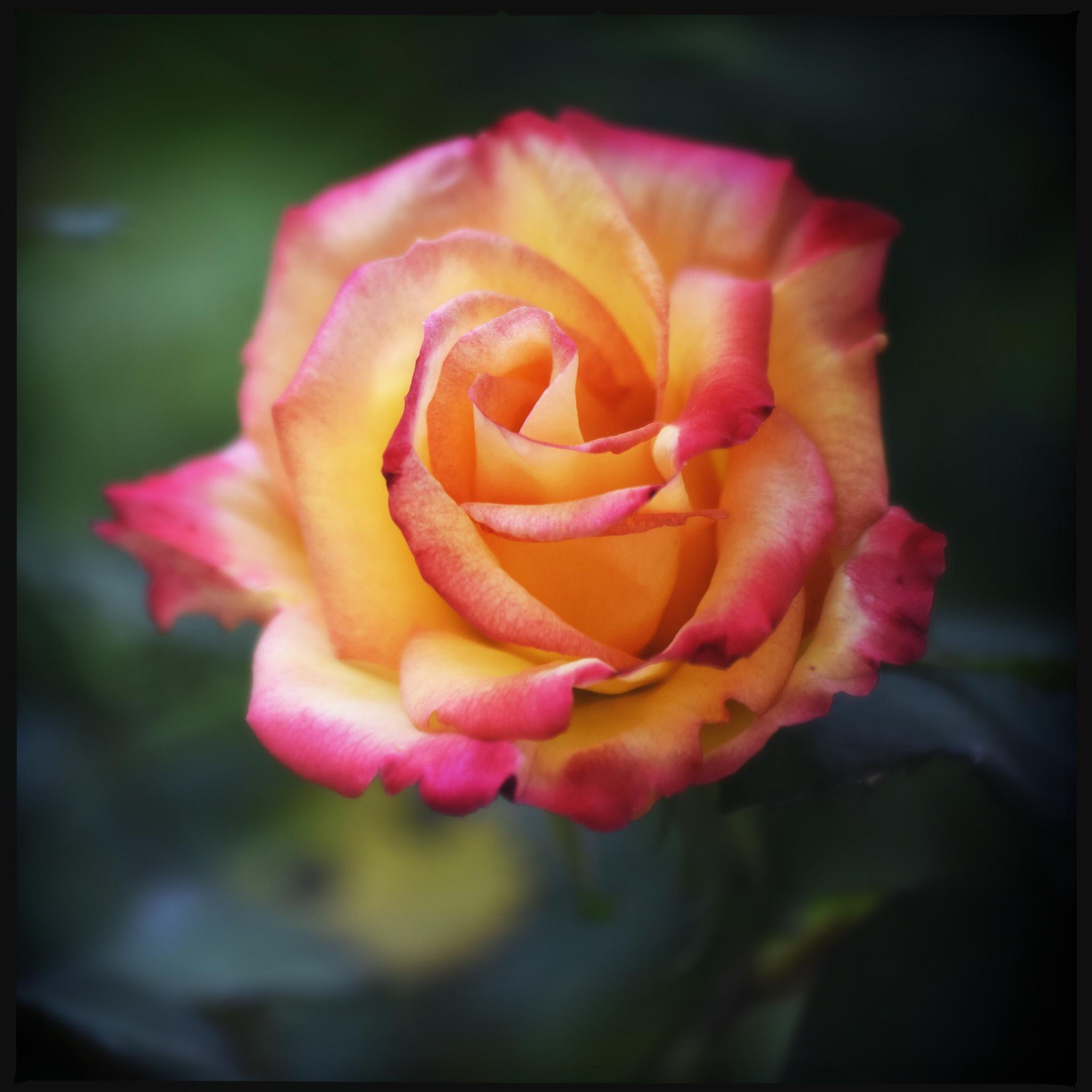 Photo in Nature #flower #rose #nature