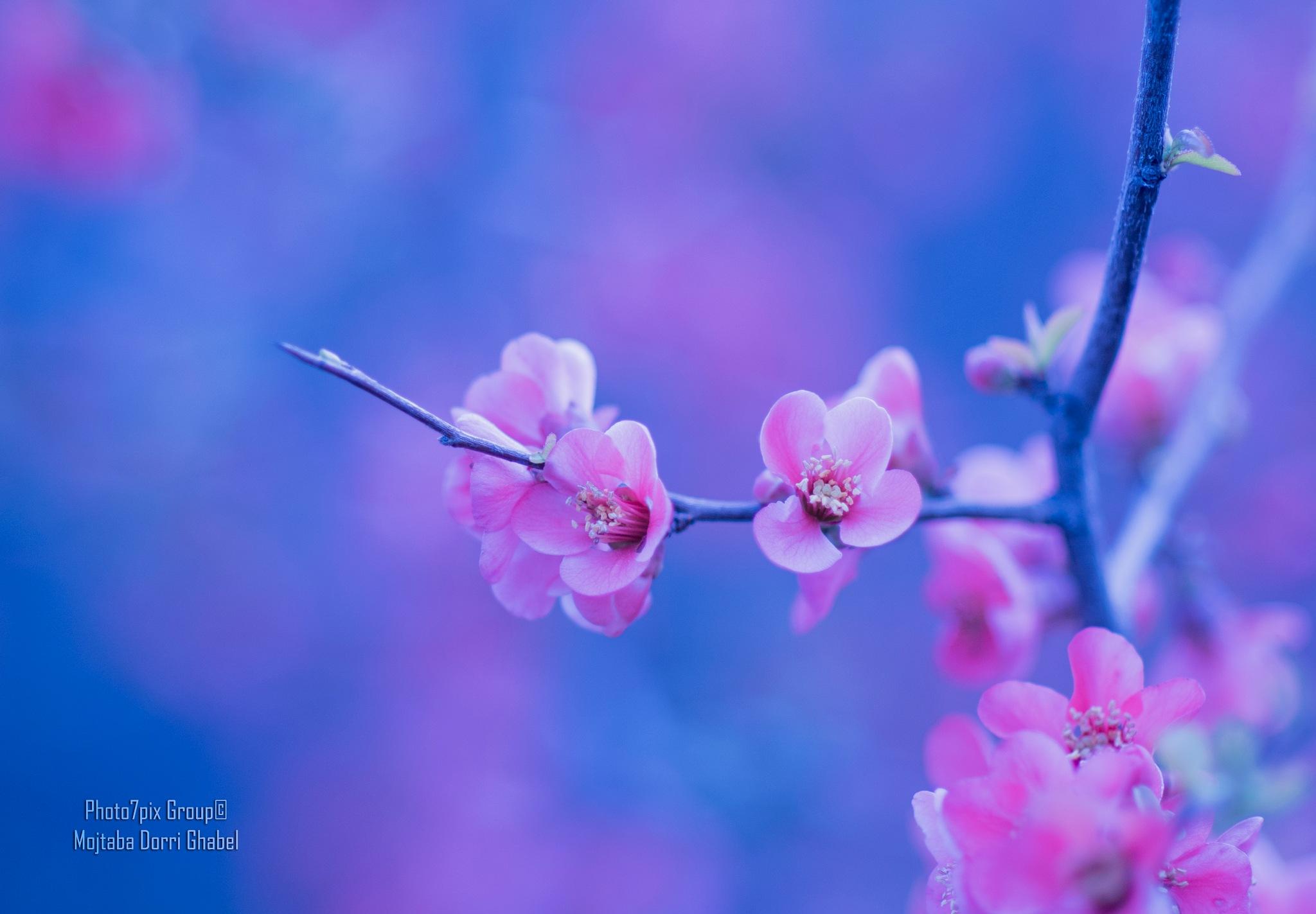 blossoms  by mojtabadorri