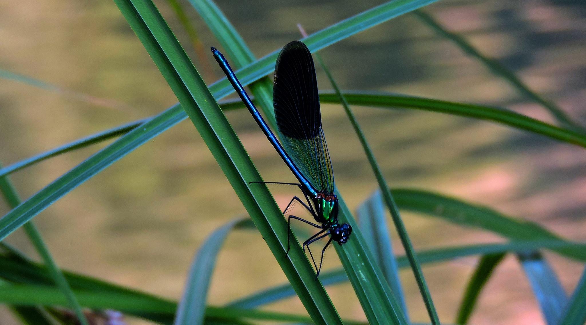 dragonfly by bilal güldoğan