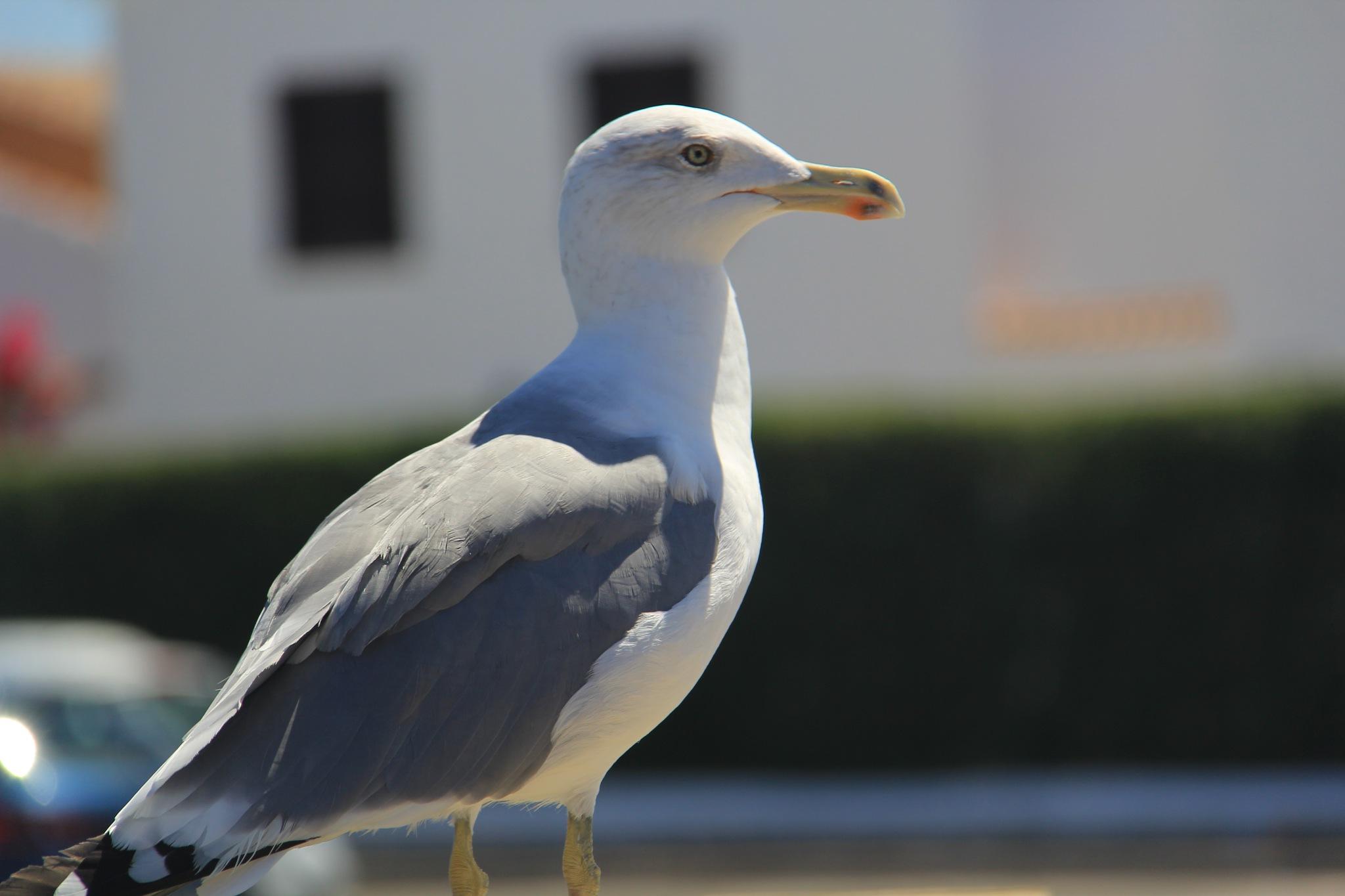 Spanish Gull by Daveschoie